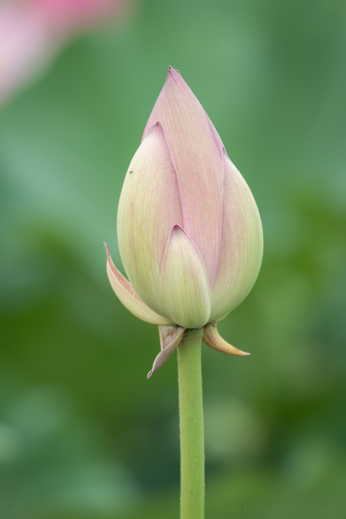 Unopened lotus bud at Kenilworth Aquatic Gardens