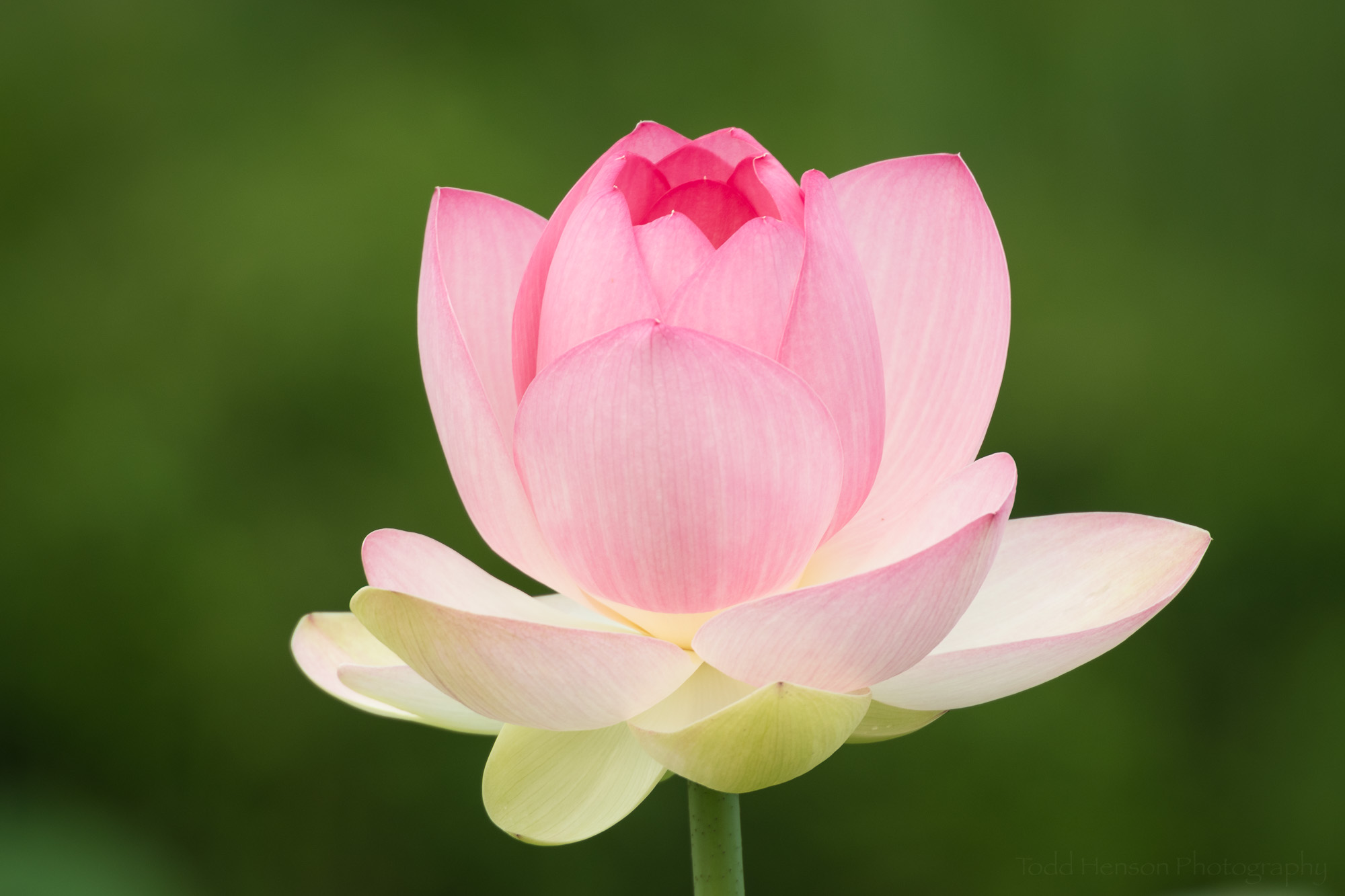 Newly opened lotus flower at Kenilworth Aquatic Gardens