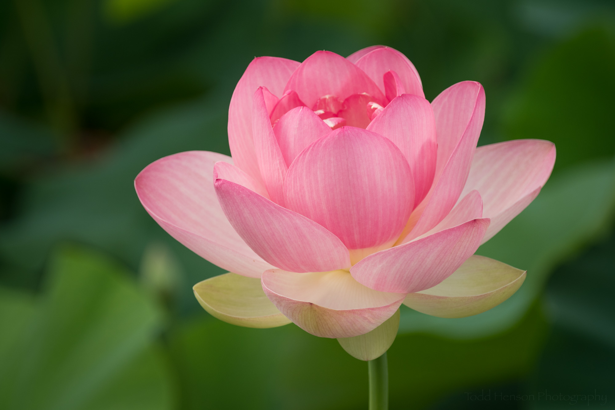Blooming lotus flower at Kenilworth Aquatic Gardens.