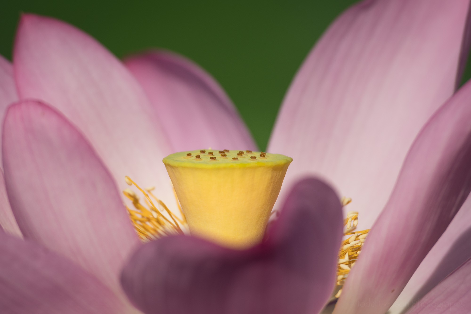 Closeup of the center of an open lotus flower.