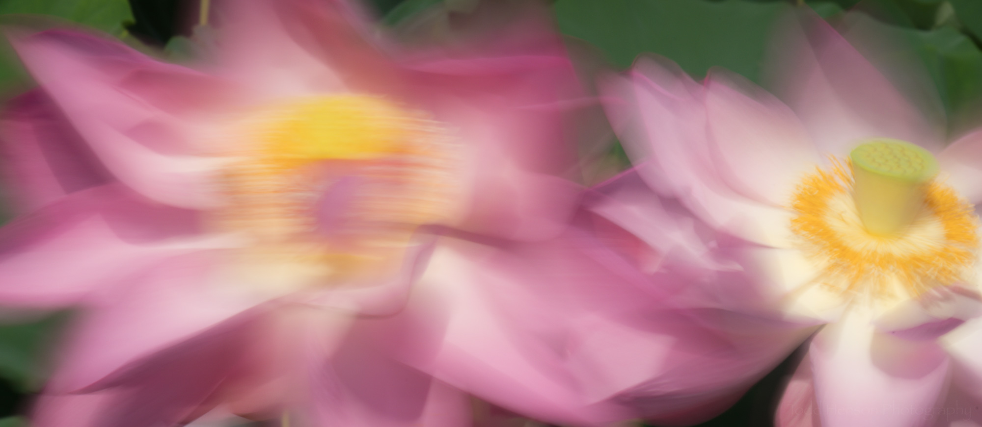 A pair of lotus flowers dancing in the wind, using a slow shutter speed to capture the motion blur.