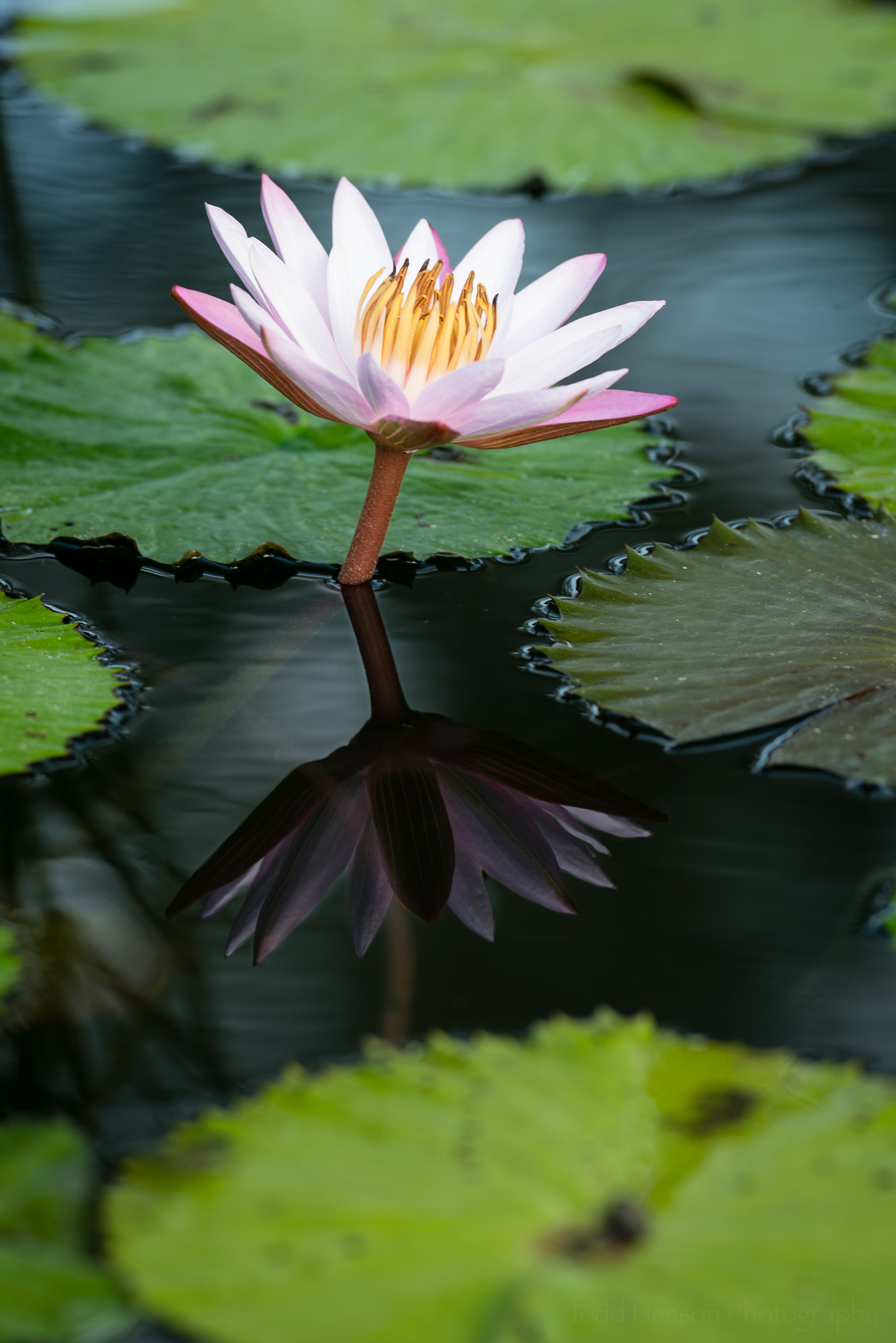 Pink water lily composite. Combined the color saturation of the maximum polarization version with the reflection of the minimum polarization version.