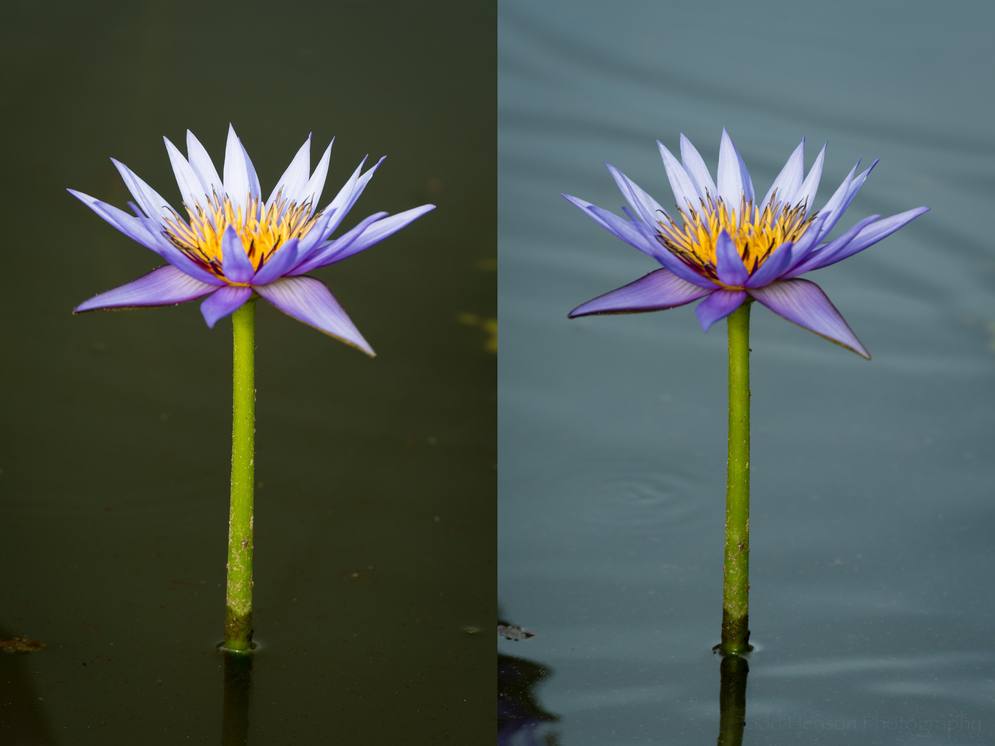 Purple water lily. Left: maximum effect from polarizing filter. Right: minimum effect from polarizing filter.