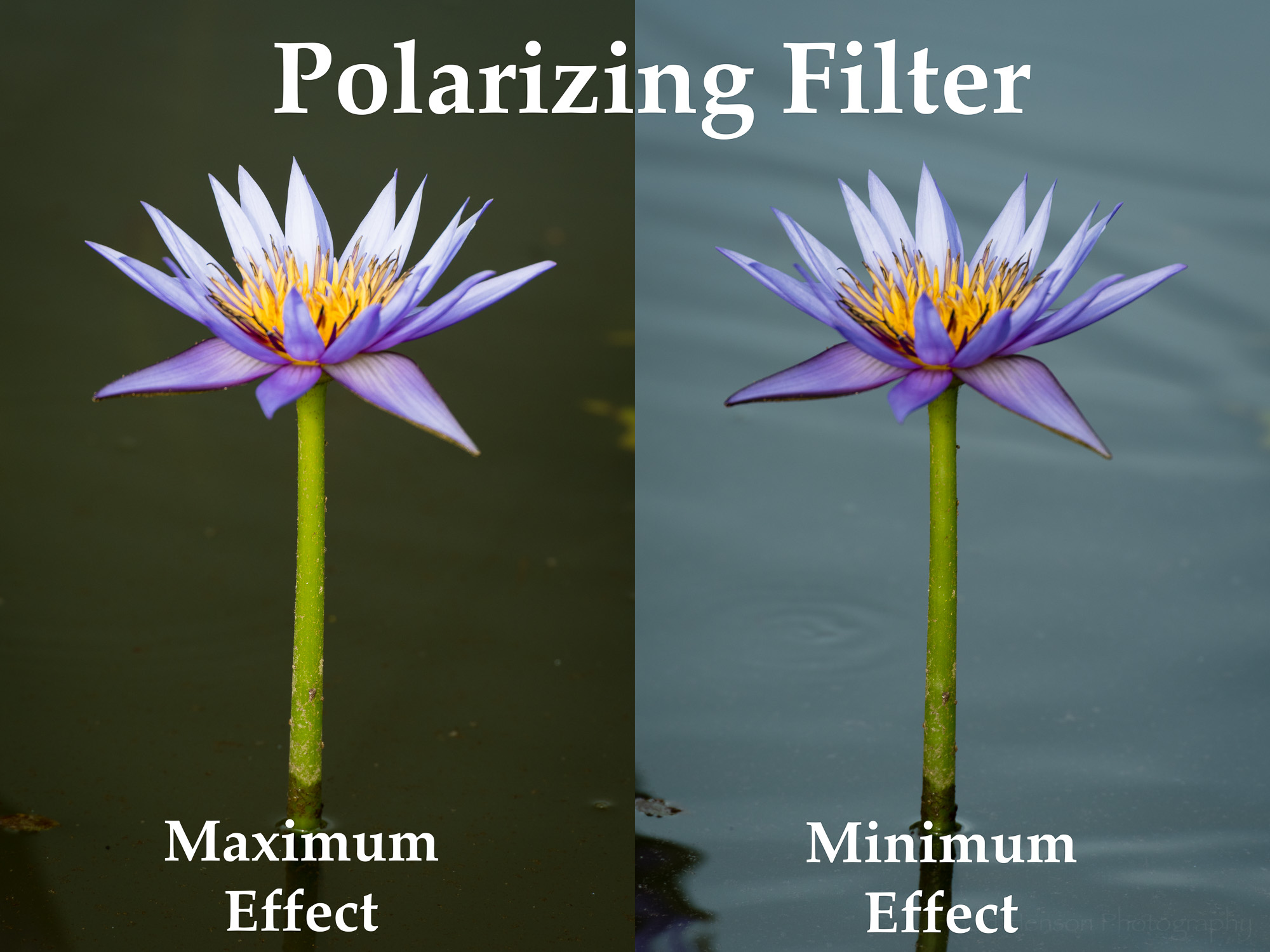Example showing maximum and minimum effect using a polarizing filter with a purple water lily.