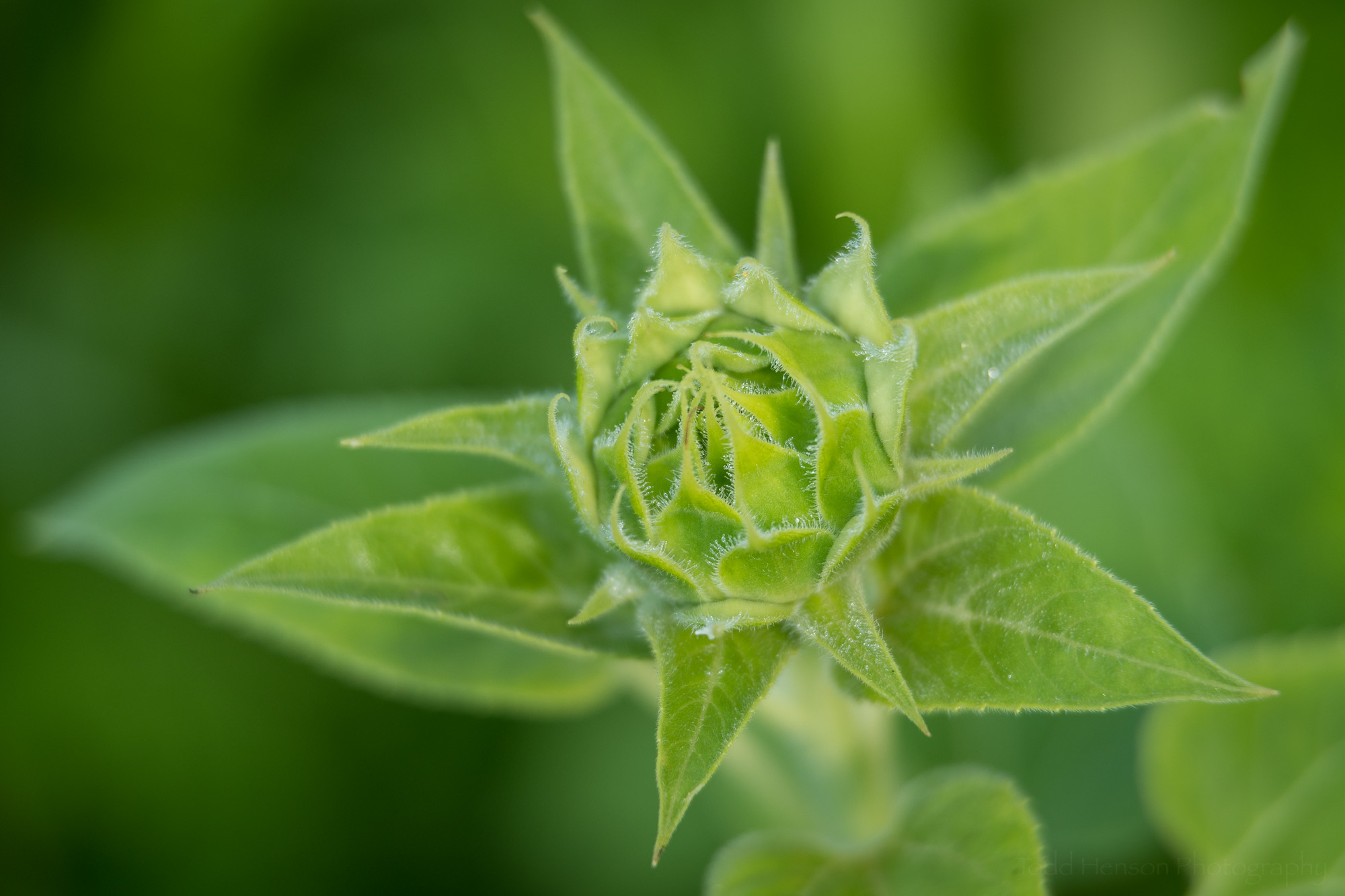 A young green sunflower bud.