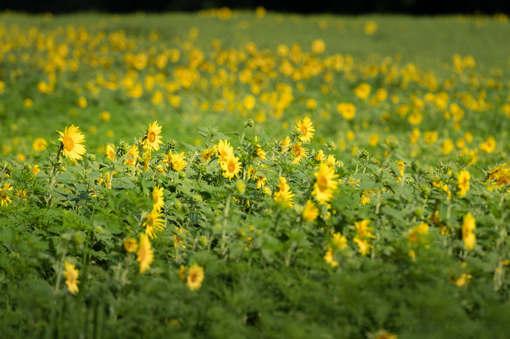 Side view of the partly blooming sunflower field.