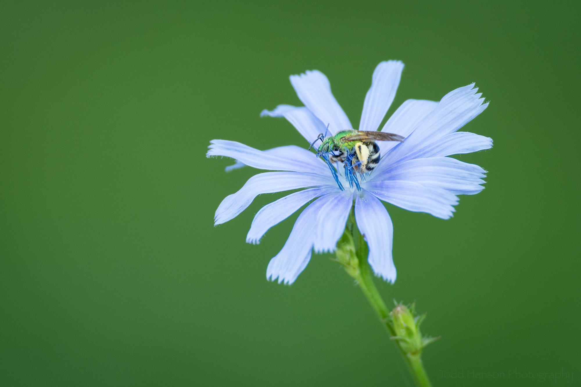 Green bee on a blue chicory flower with a green background.
