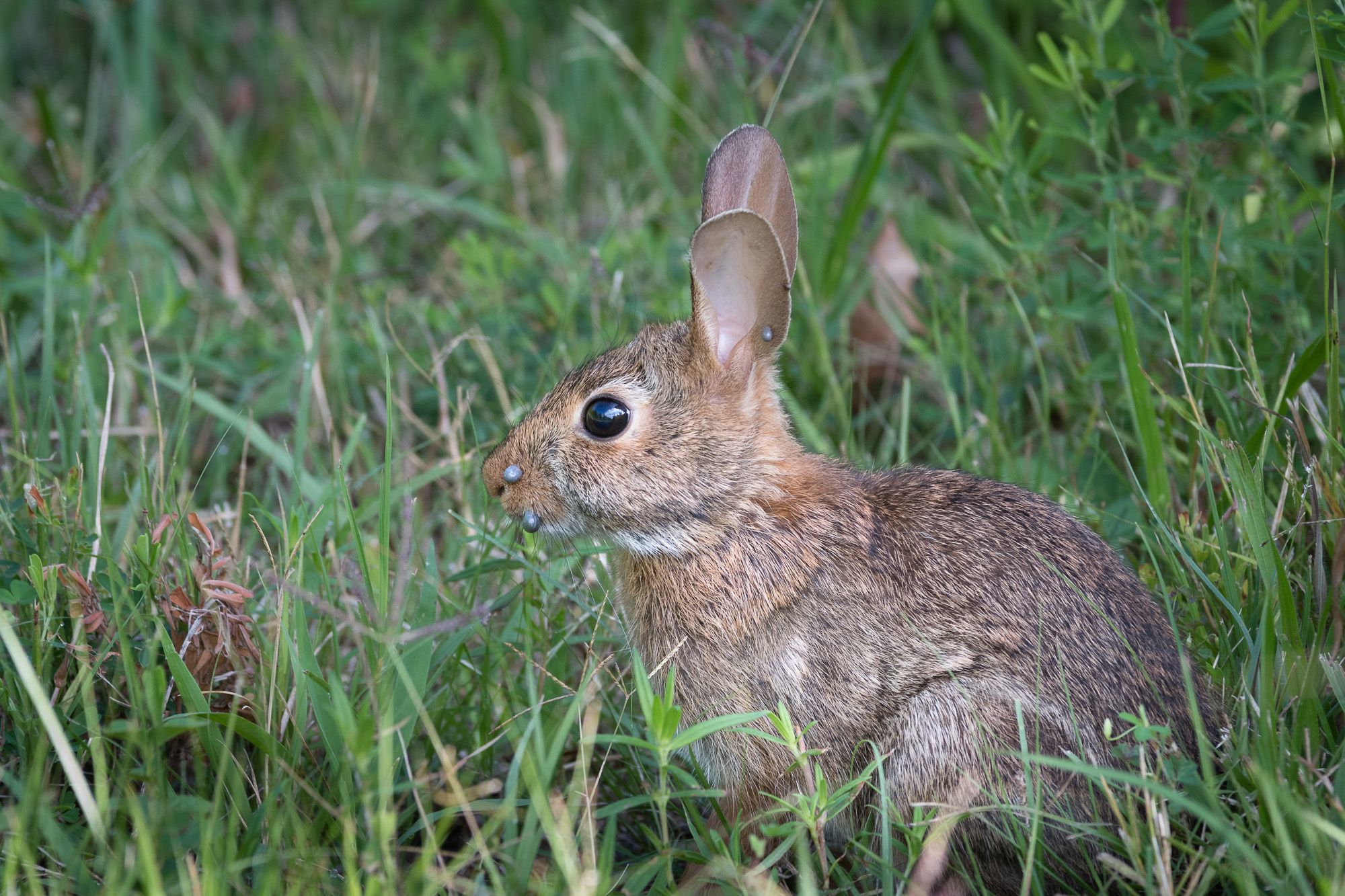 Eastern Cottontail Rabbit with at least 4 ticks. Look at its snout and ear. Click on the images in this post for a larger view.