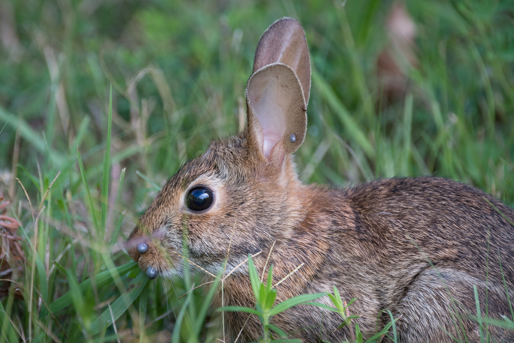 Closer view of the rabbit with 2 engorged ticks on its snout, and at least 2 ticks on its ear.