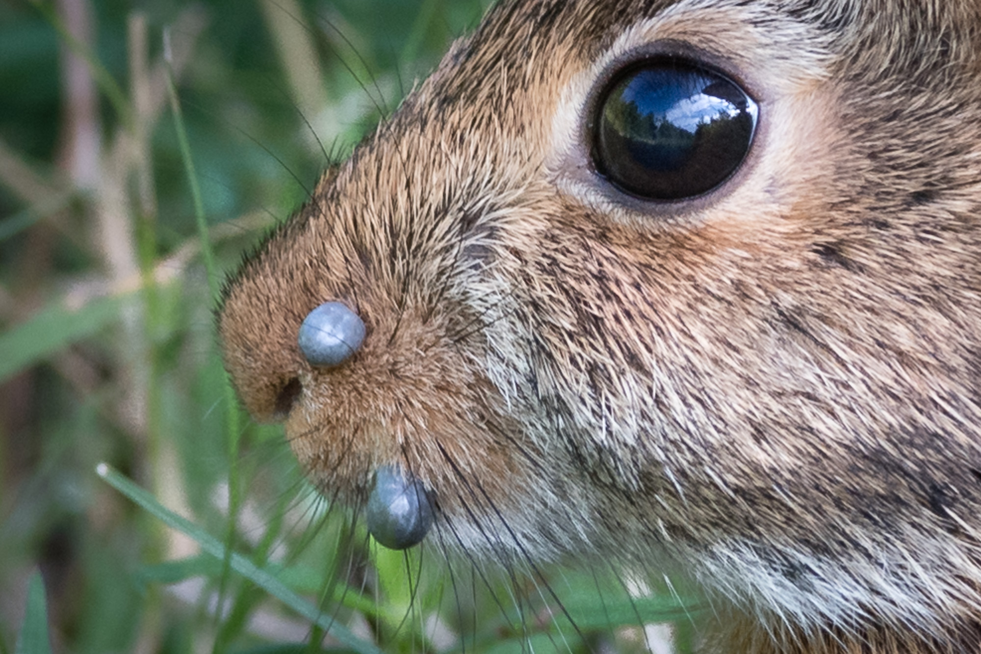 Closeup of the rabbit's snout. You can easily see the 2 engorged ticks.