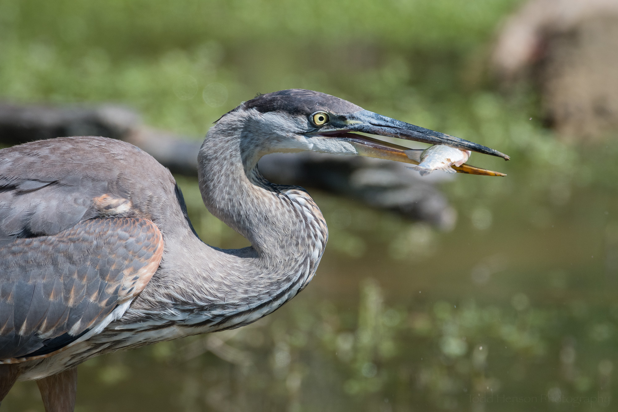 The Great Blue Herons eye is now fully open as it holds the fish in its beak.