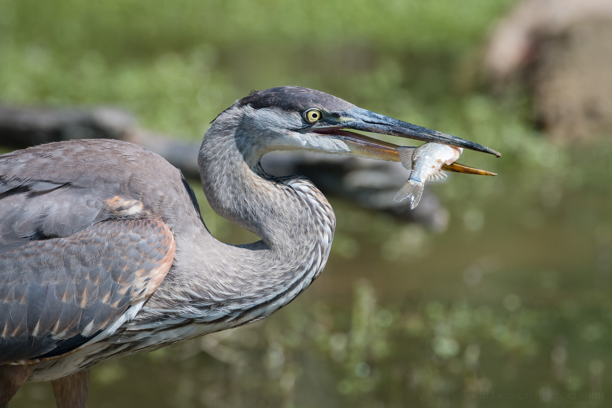 This view shows the fish just a little better as the Great Blue Heron opens its beak just a bit wider.
