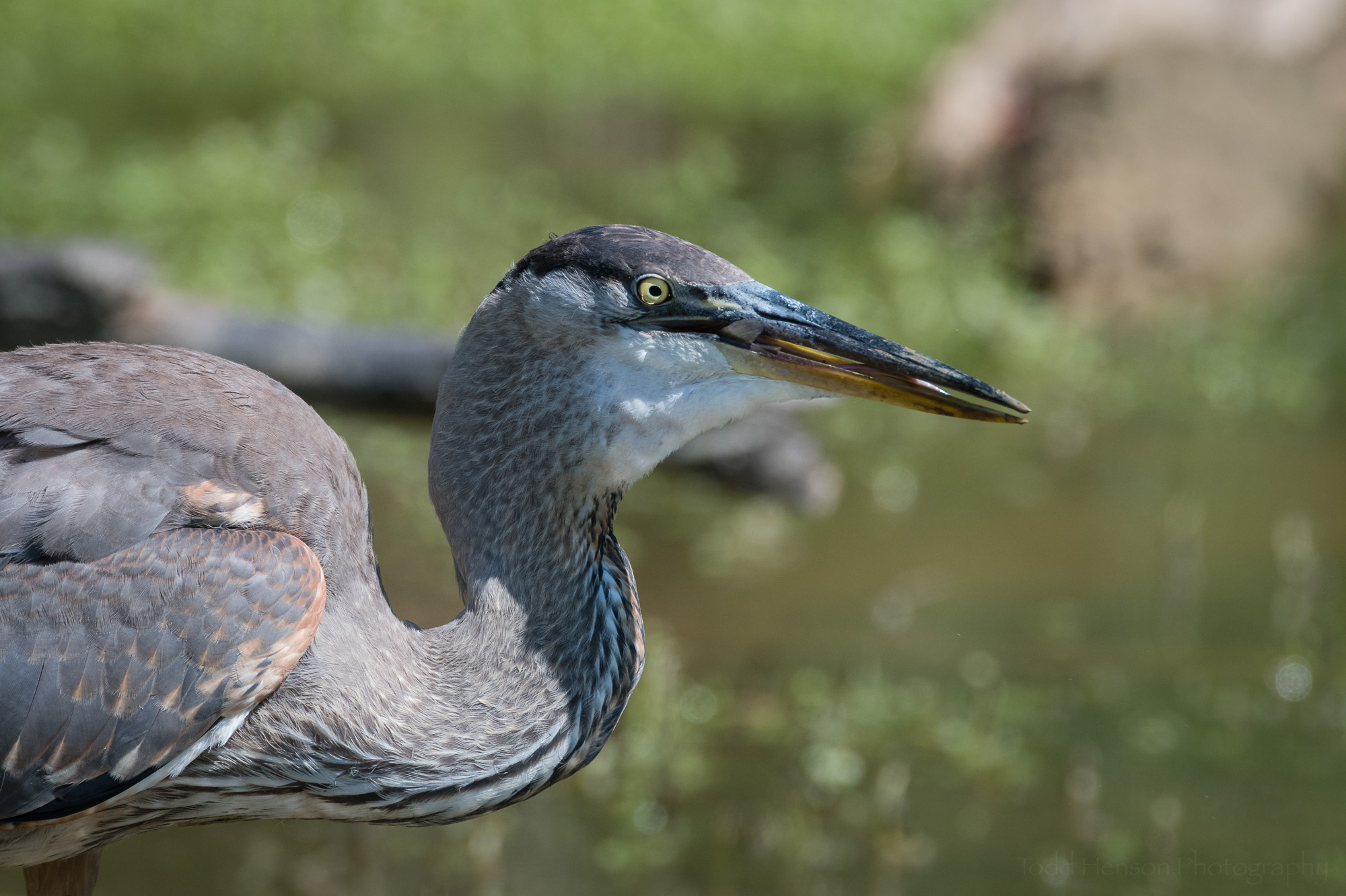 And in it goes, with only the tail of the fish sticking out of the Great Blue Heron's beak.
