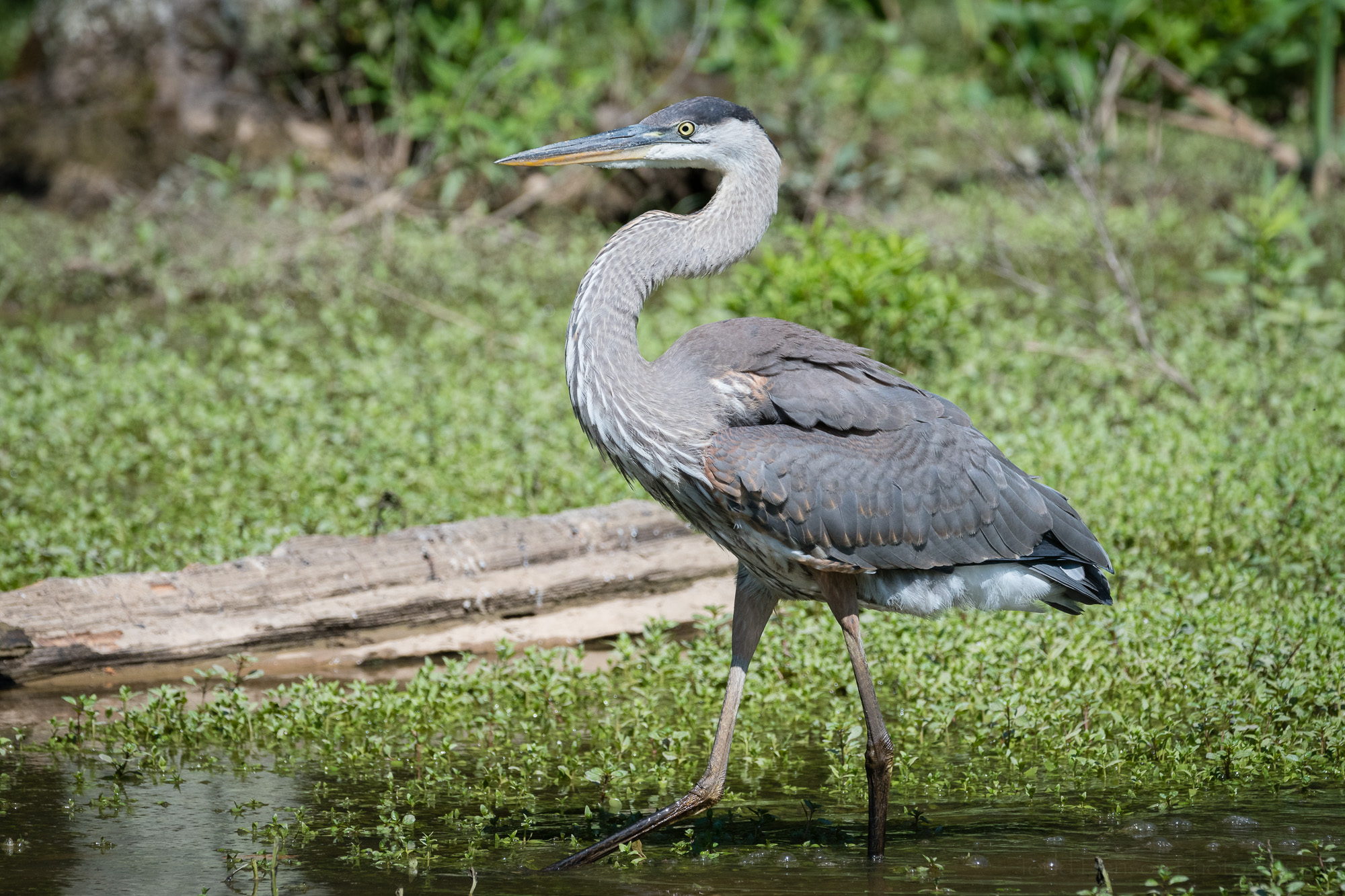 Satisfied with its catch the Great Blue Heron goes back to fishing.
