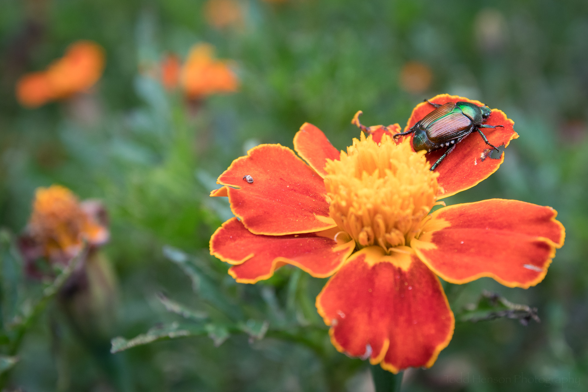 A Japanese Beetle perched on a flower.