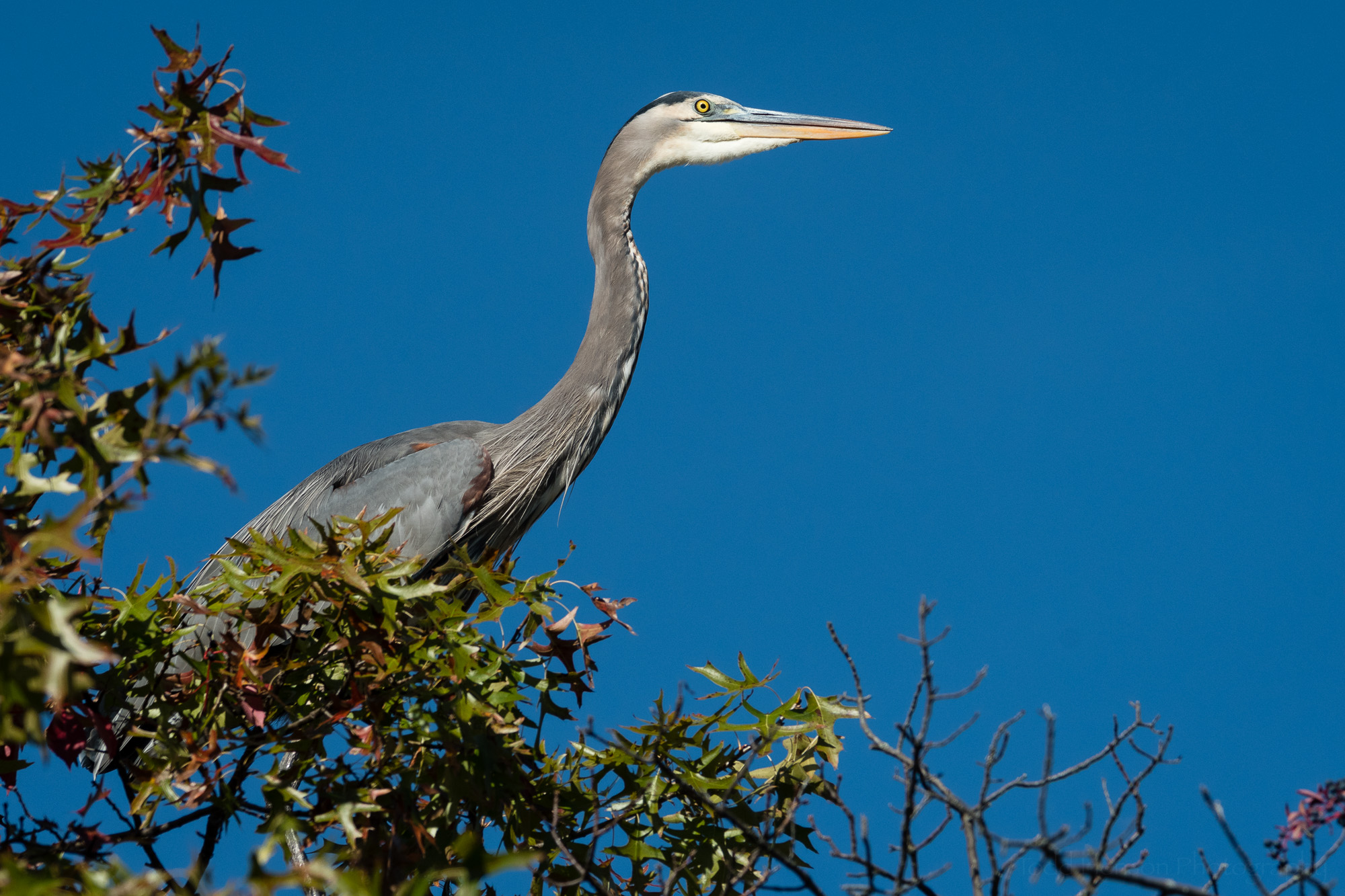 A Great Blue Heron landed in a tree right along the trail.