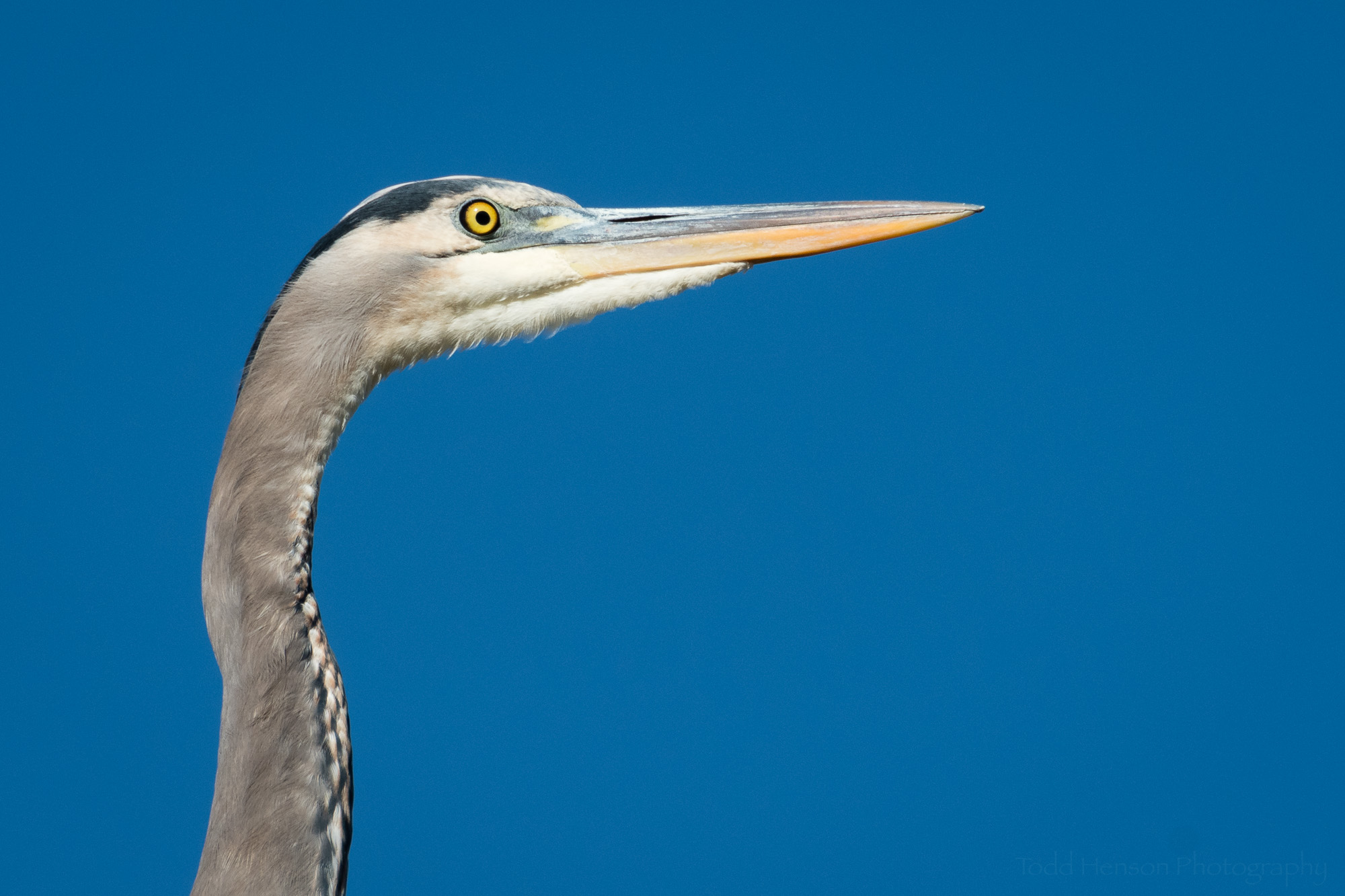 Closeup of the Great Blue Heron's head as it watches the nearby wetlands.