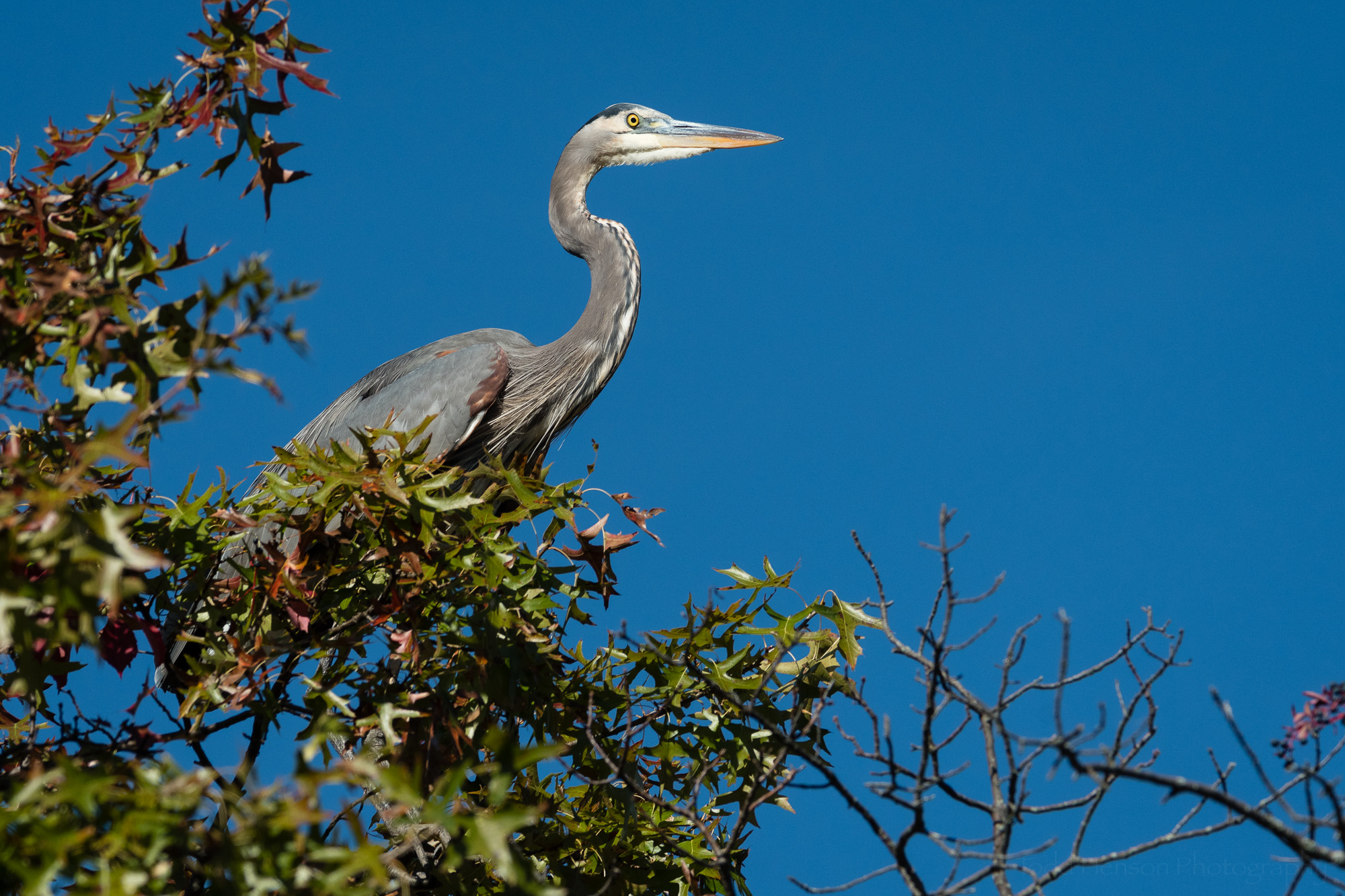 Great Blue Heron in a tree, with its head tilted slightly in my direction.