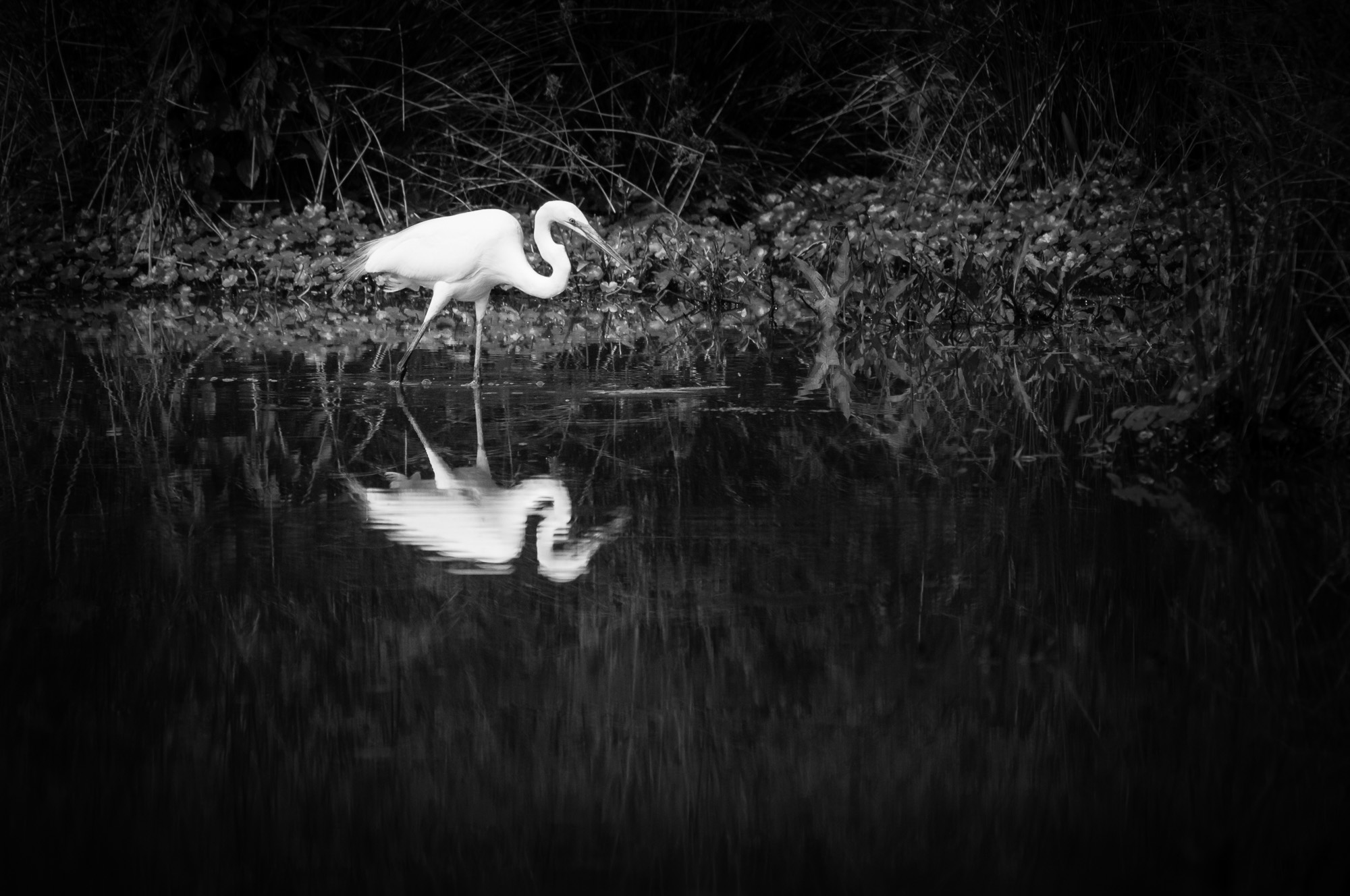 Black and white image of a Great Egret reflected in a wetlands pool.