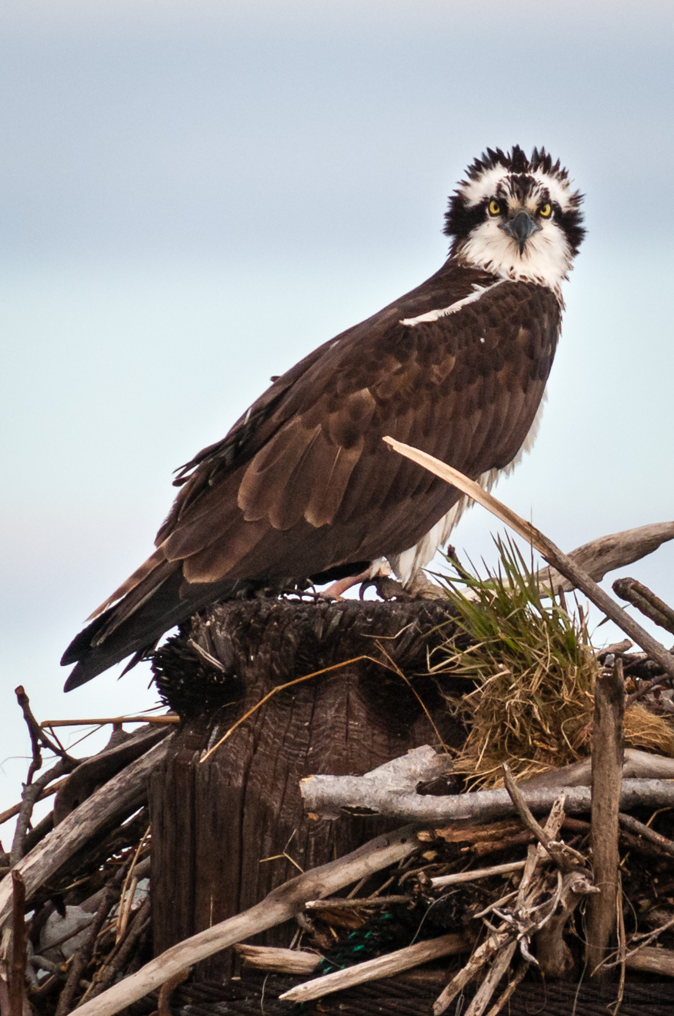Closeup of osprey facing camera, head feathers upright.