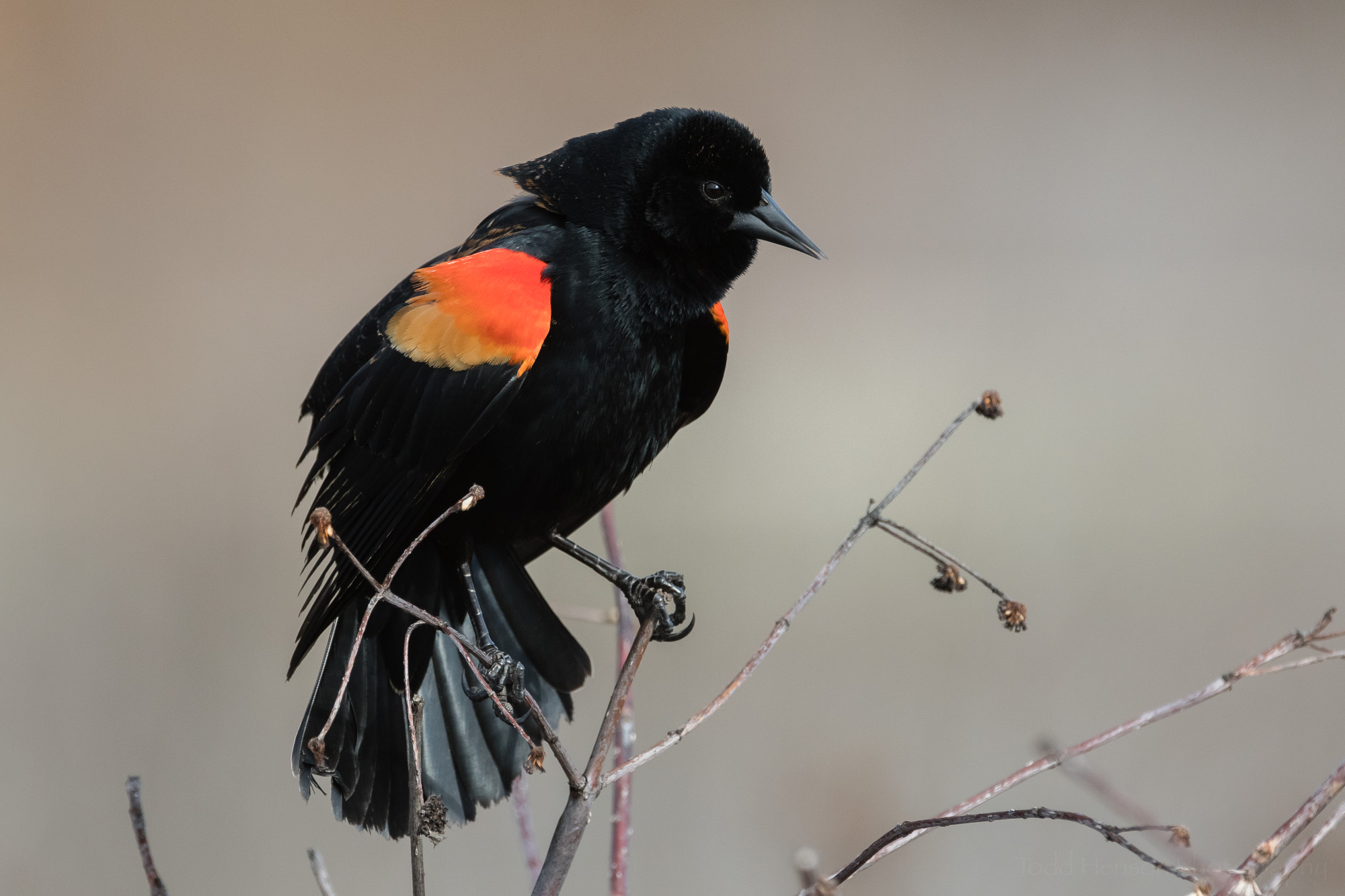 singing-red-winged-blackbird-sequence-3_THP.jpg