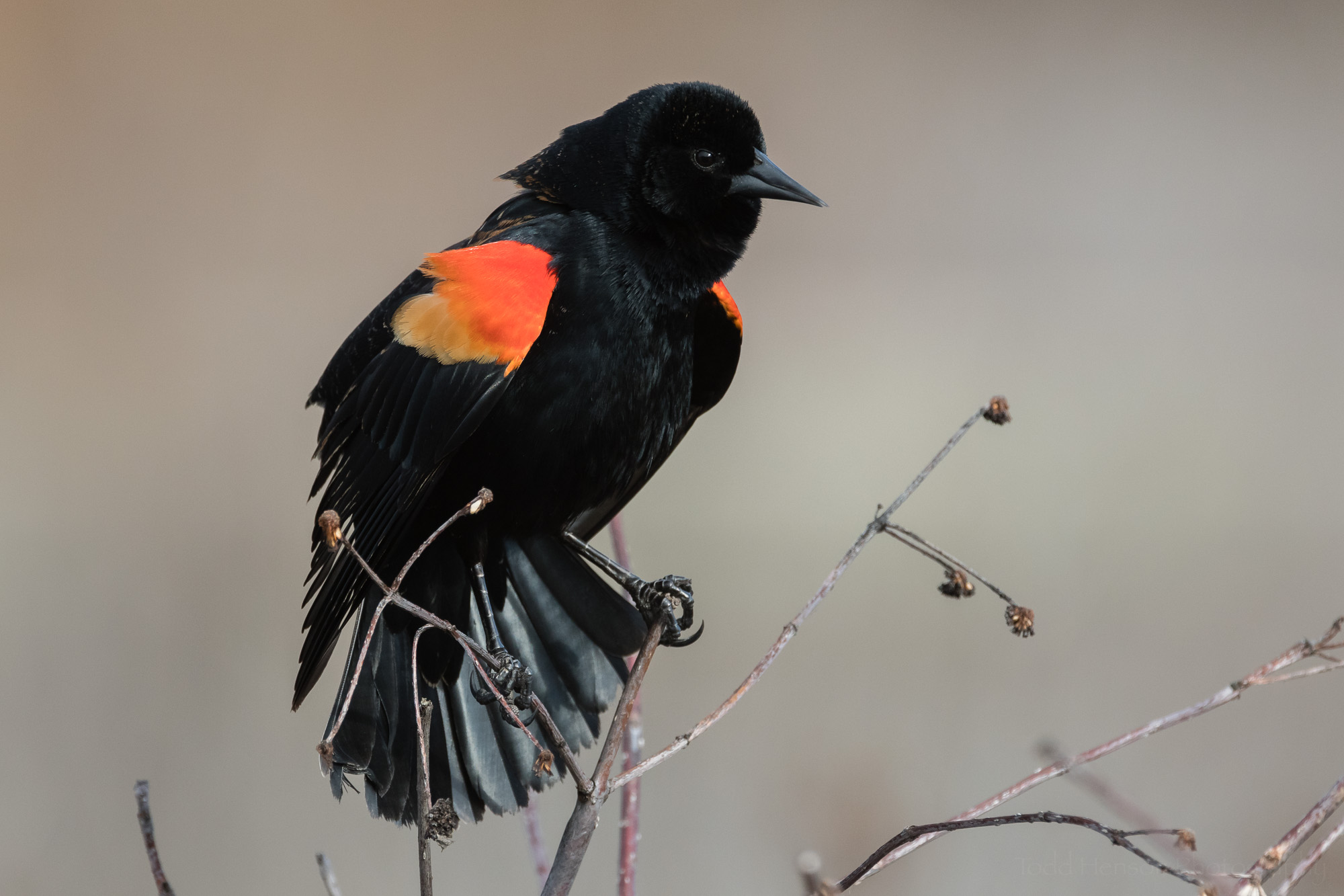 singing-red-winged-blackbird-sequence-5_THP.jpg