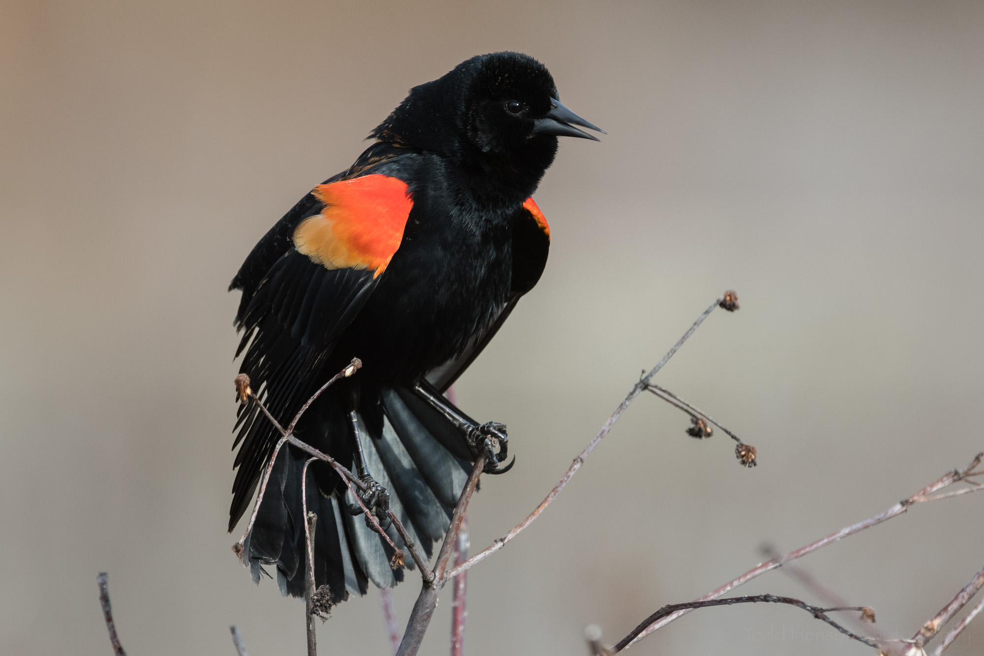 singing-red-winged-blackbird-sequence-6_THP.jpg
