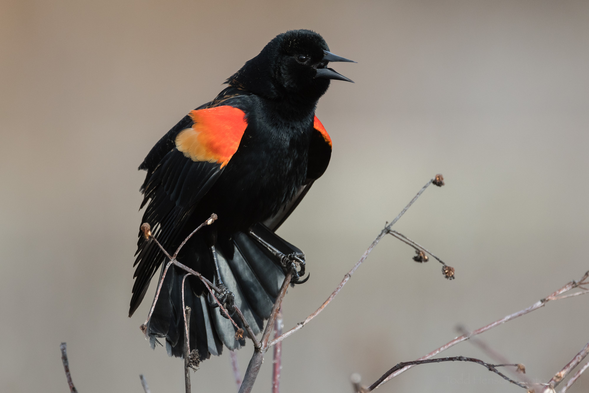 singing-red-winged-blackbird-sequence-7_THP.jpg