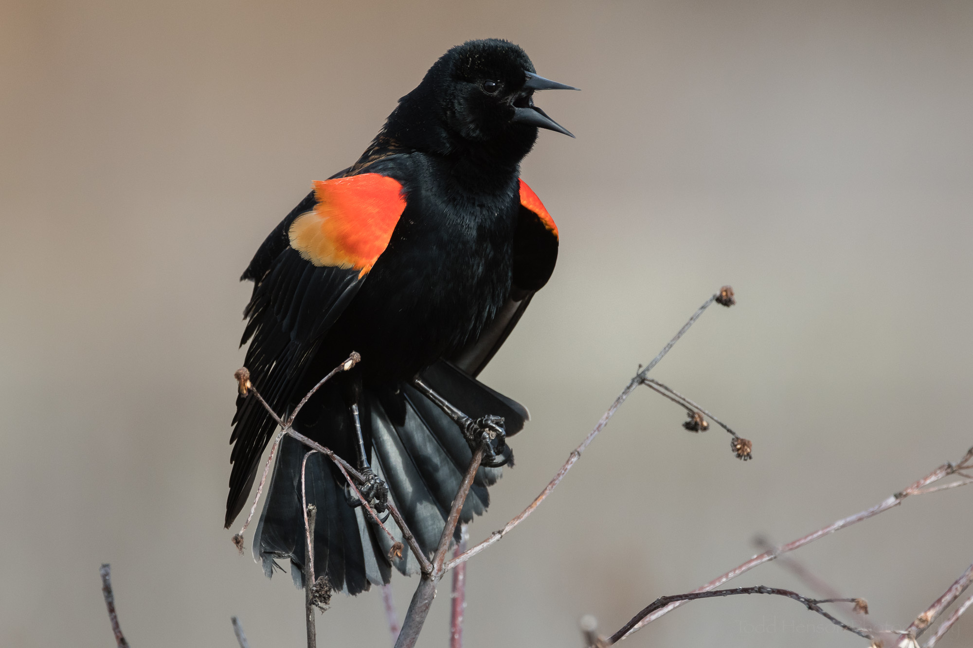 singing-red-winged-blackbird-sequence-8_THP.jpg