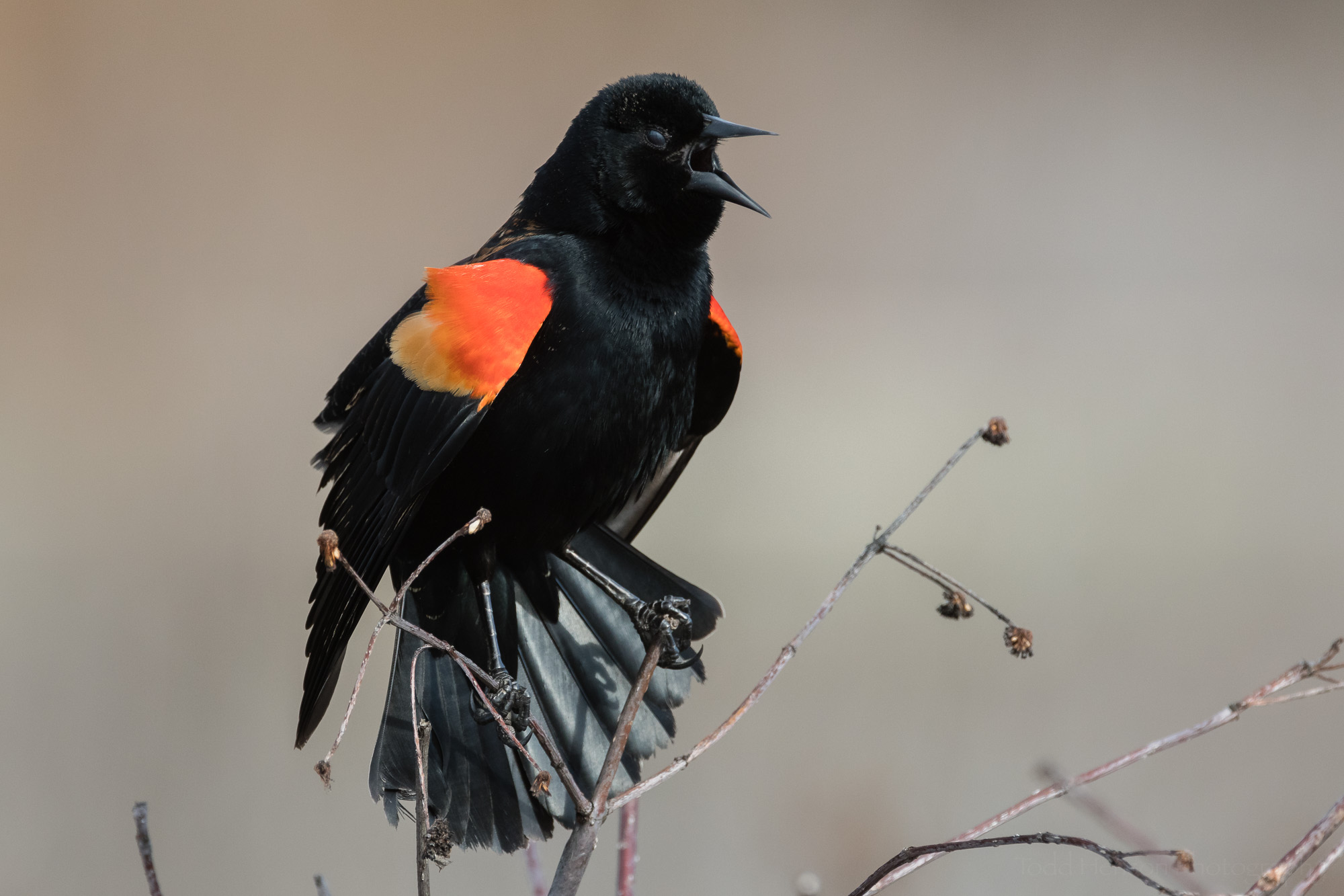 singing-red-winged-blackbird-sequence-11_THP.jpg