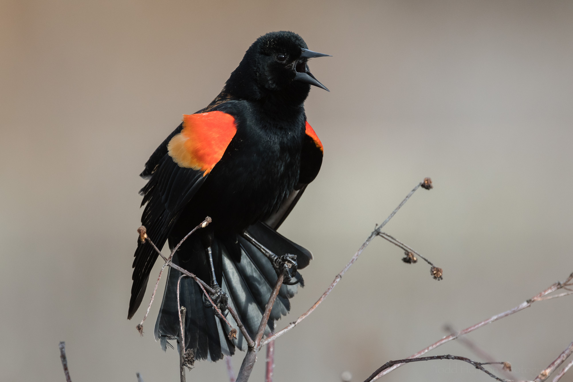 Red-winged Blackbird with eye fully open. Click the image for a larger view.