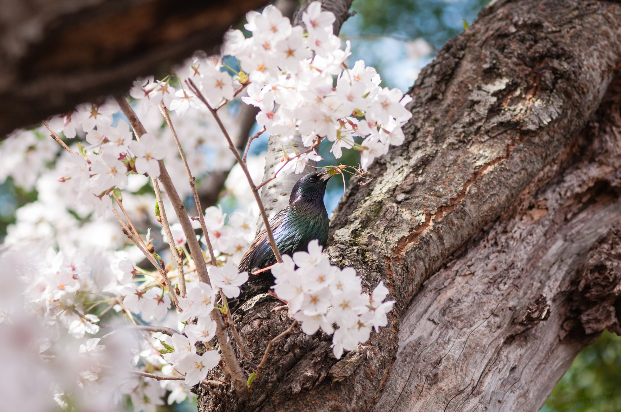 European Starling gathering nesting material in a cherry tree.