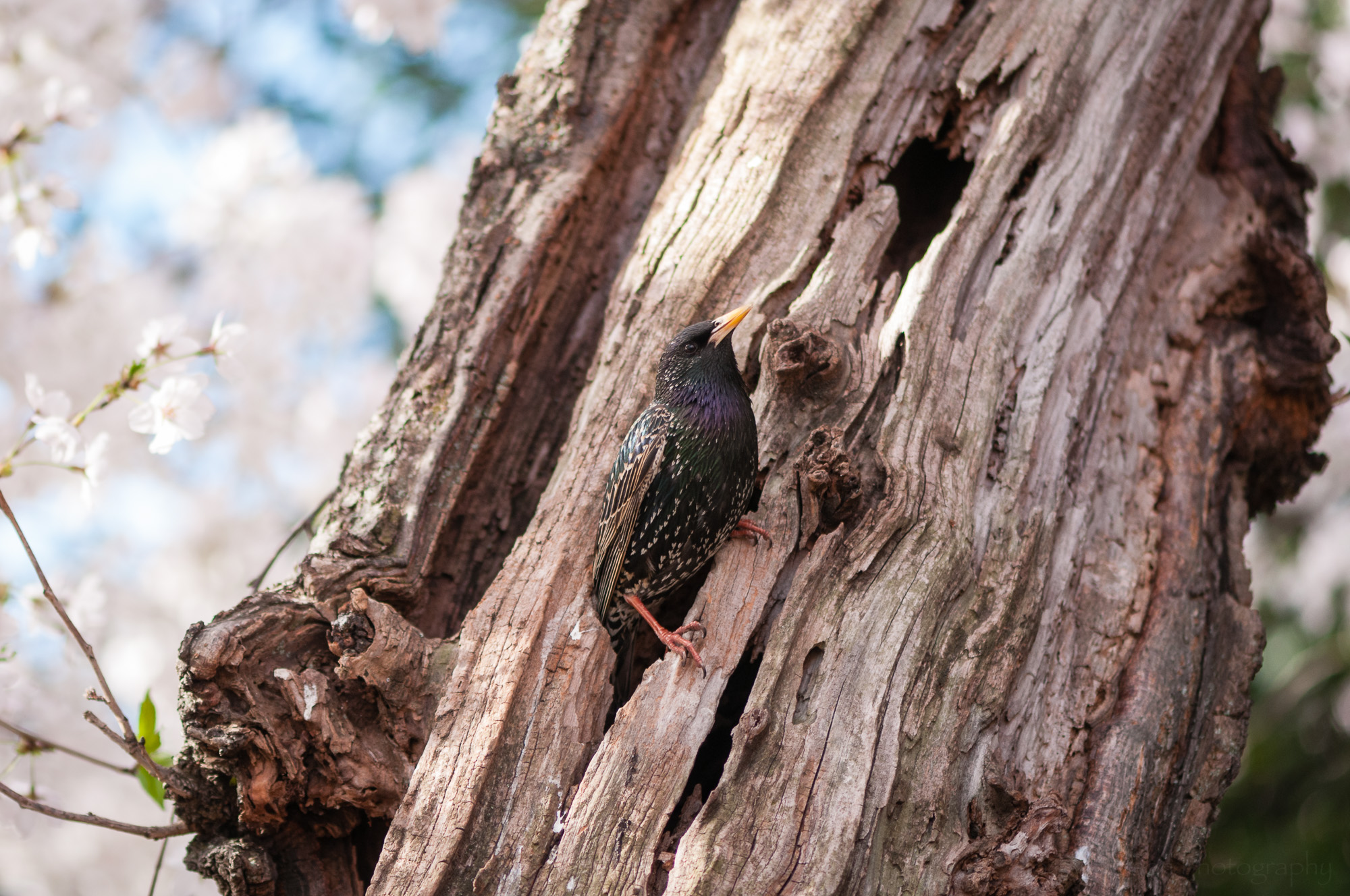 European Starling emerging from its nesting hole in a cherry tree.
