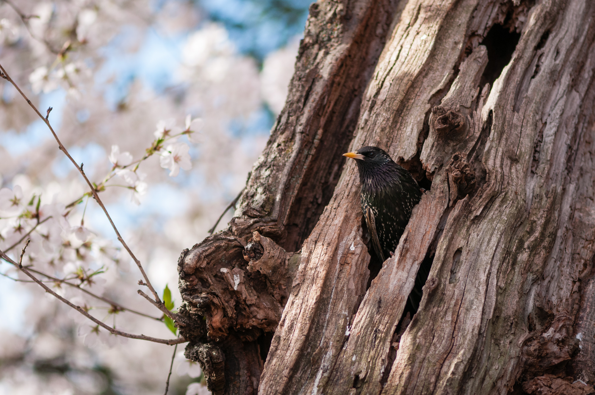 European Starling peeking out of its nesting hole in a cherry tree.