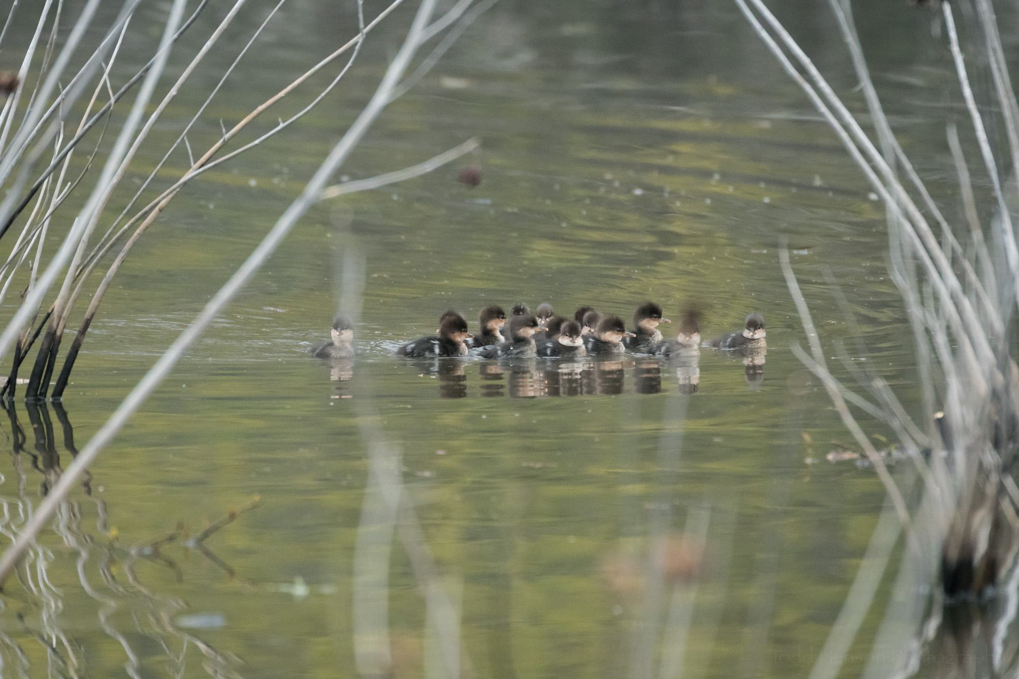 Hooded Merganser ducklings just out of the box, swimming away from the fight between their mother and another duck.