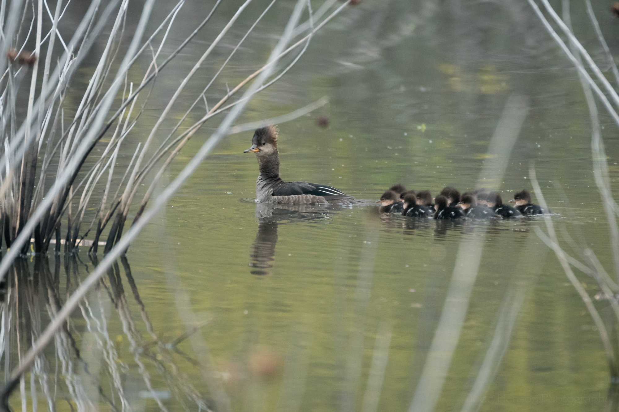 Hooded Merganser mother leading her ducklings through the brush.