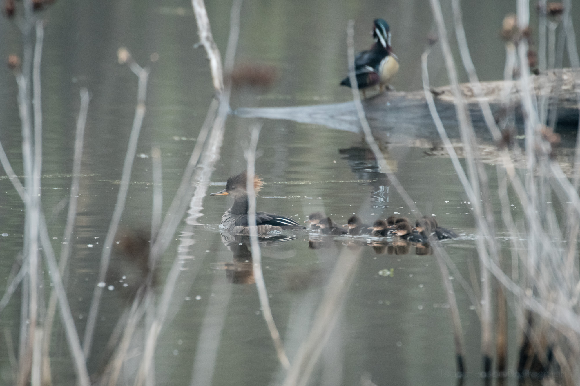 Hooded Merganser family swimming past an oblivious male Wood Duck (in the background).