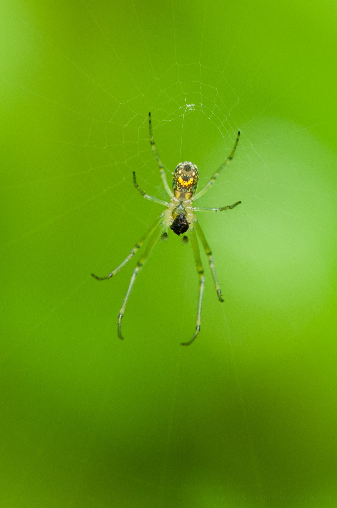 Underside of an Orchard Spider showing bright yellow patch.