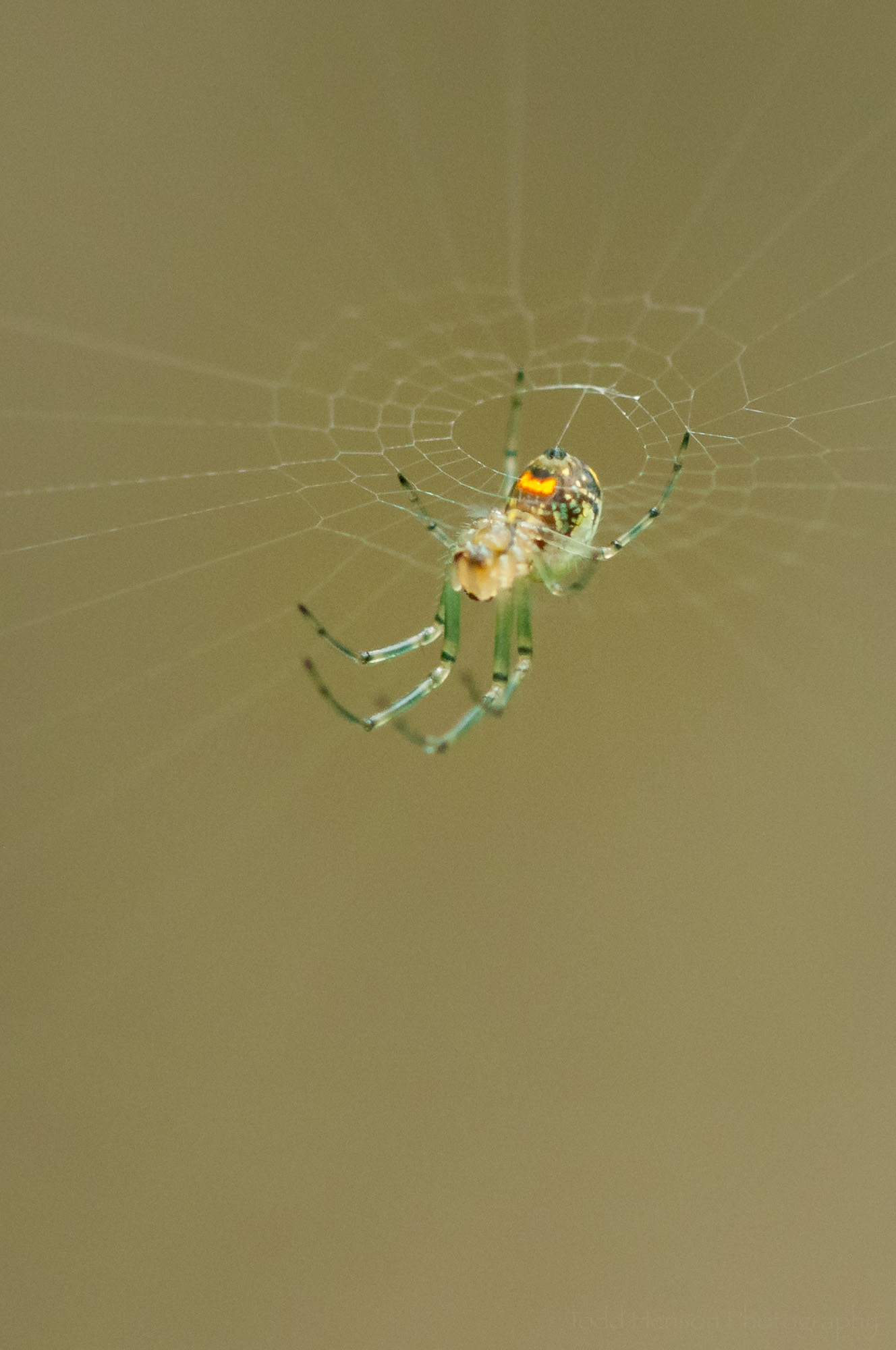 The yellow/orange patch on the underside of this Orchard Spider really glows.