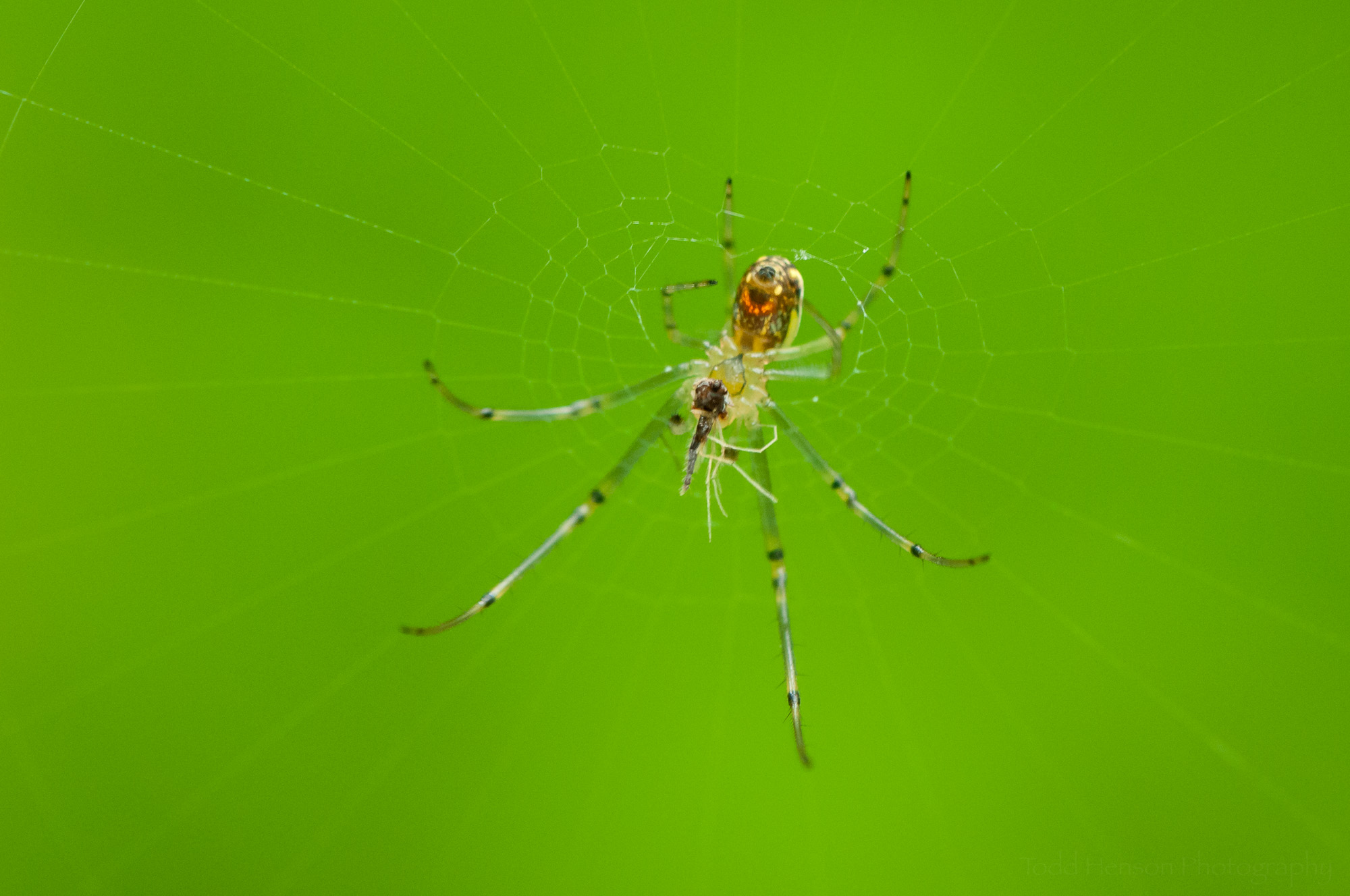 Orchard Spider with prey.