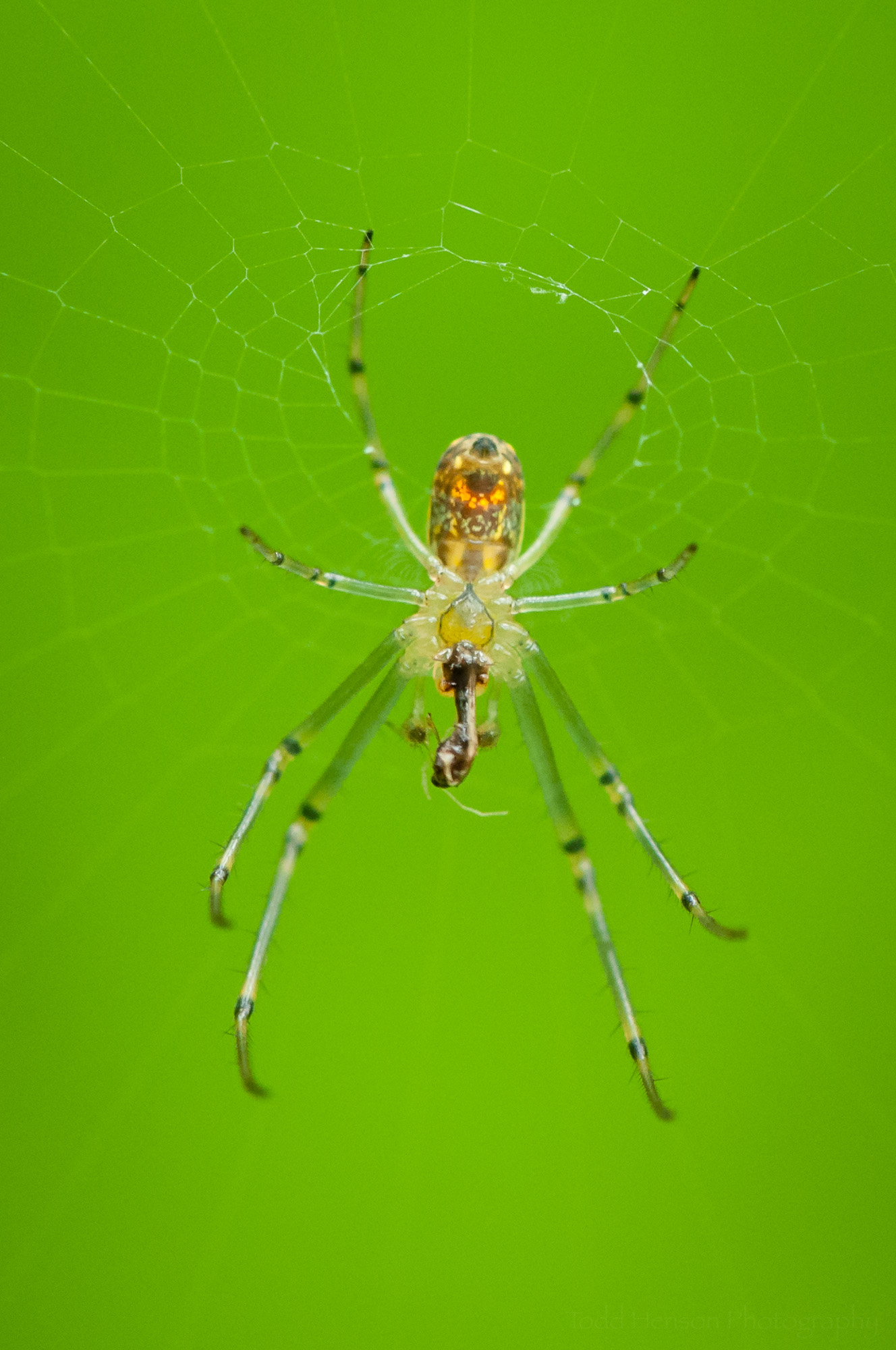 Another image of an Orchard Spider with prey.