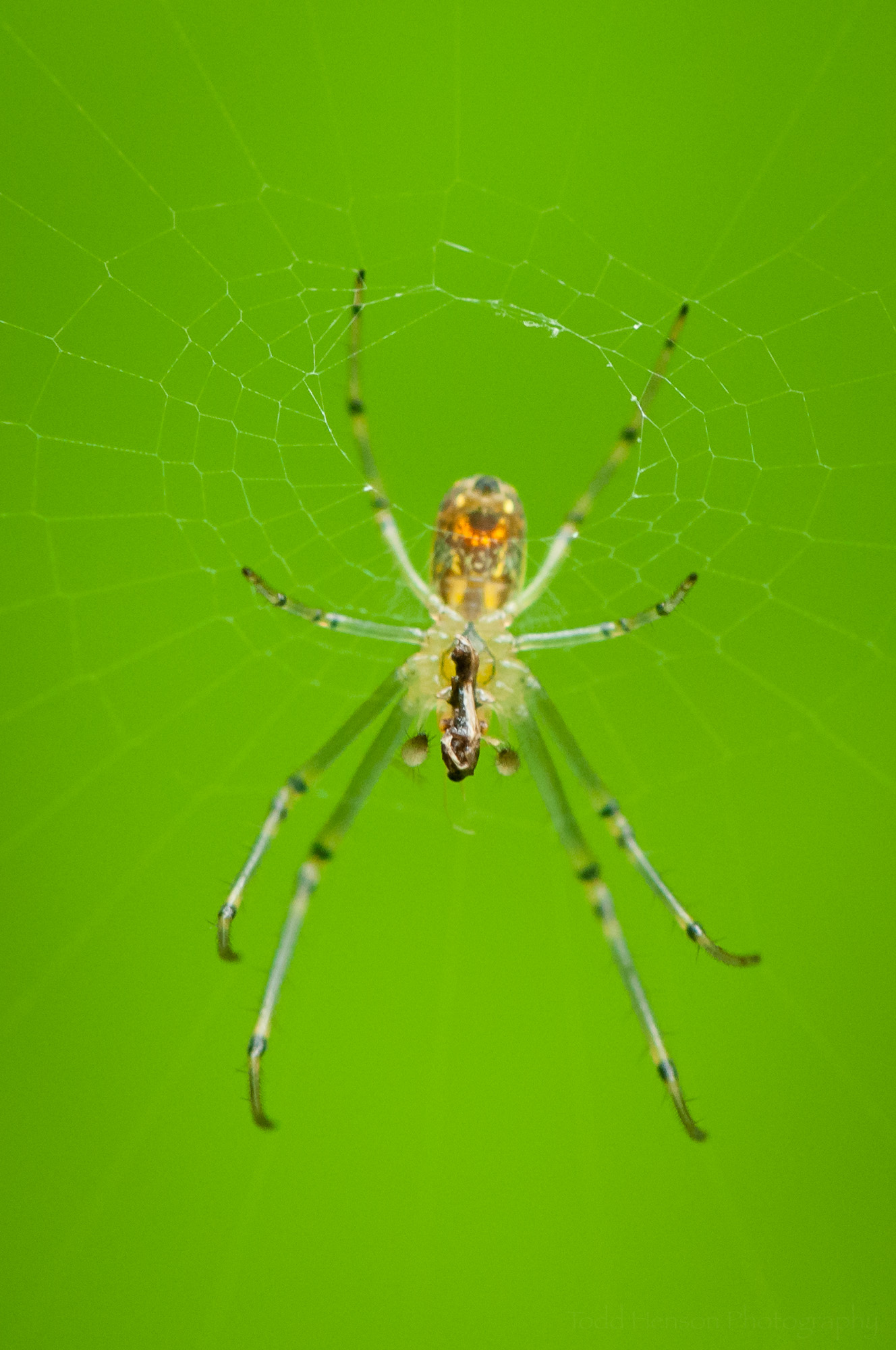 Final image of the Orchard Spider with prey.