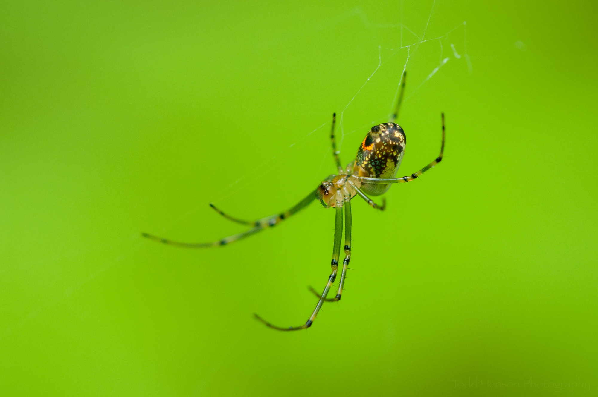 Orchard Spider in its web.