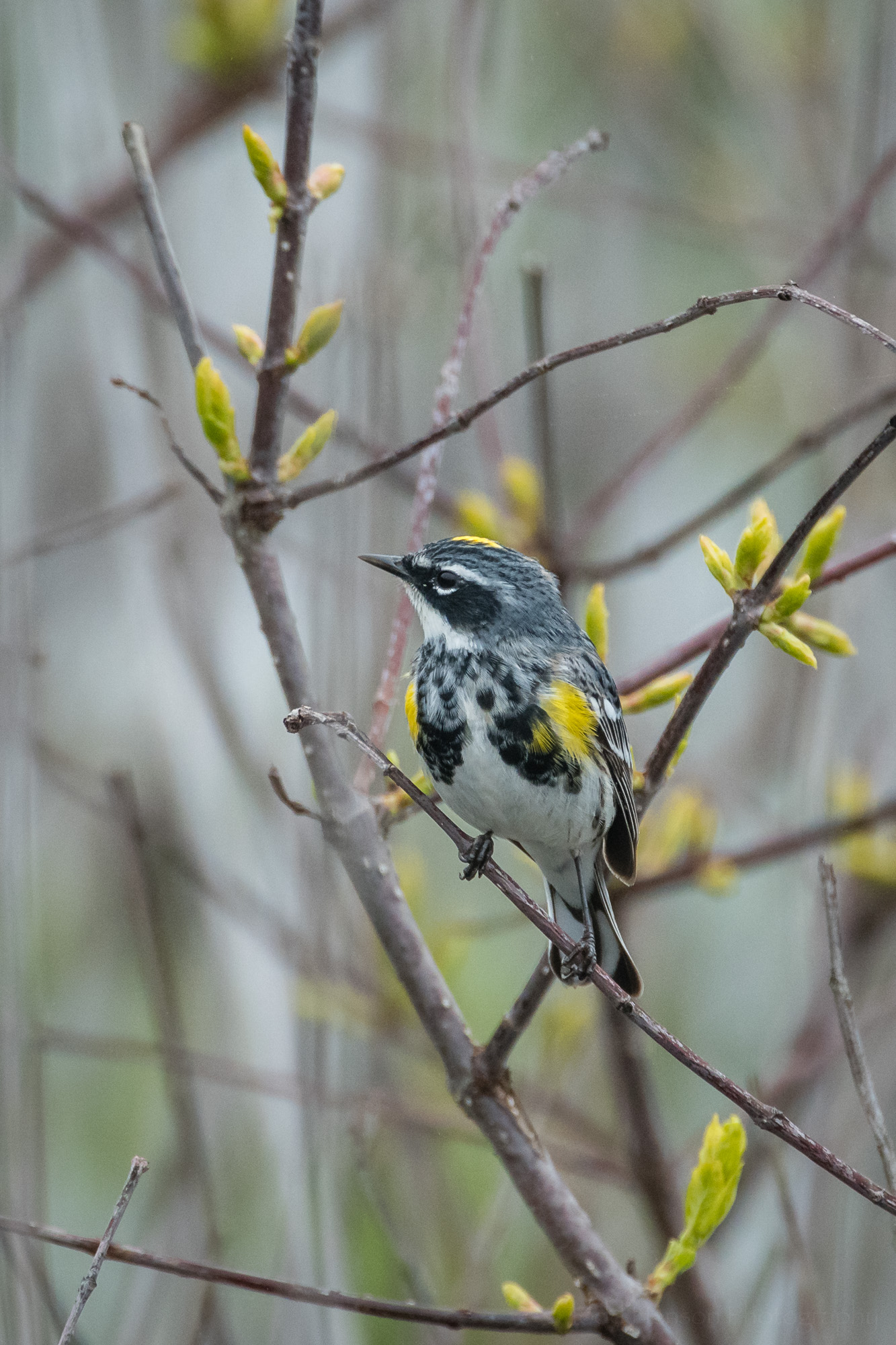 Yellow-rumped (Myrtle) Warbler facing forward, head facing the left.