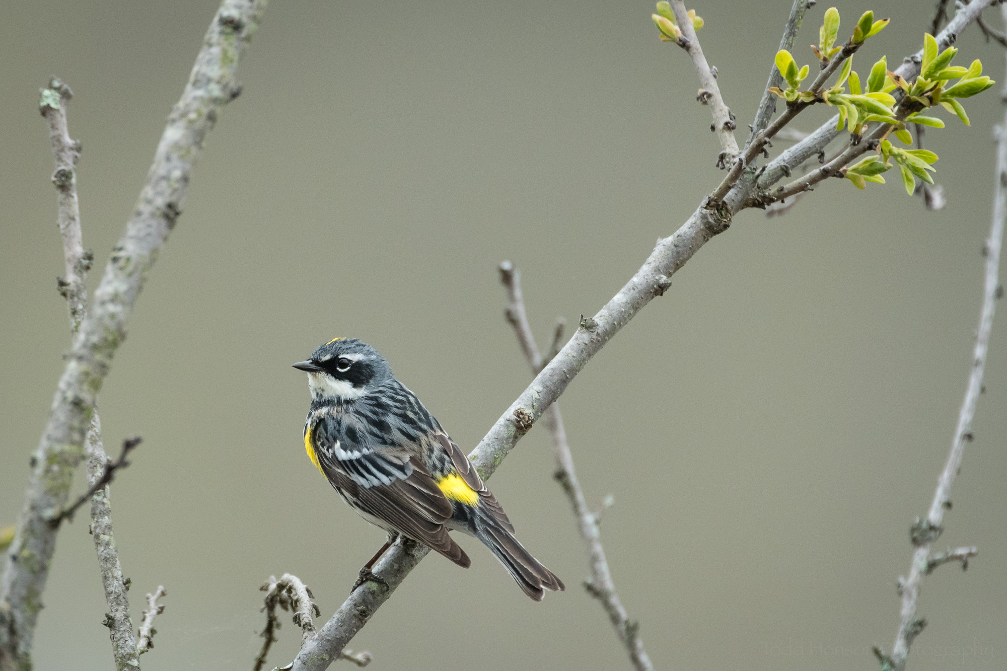 Side view of a Yellow-rumped (Myrtle) Warbler perched in the brush.