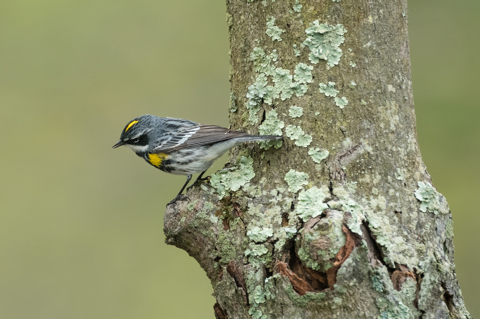 Yellow-rumped (Myrtle) Warbler perched on a tree, head looking down towards the ground.