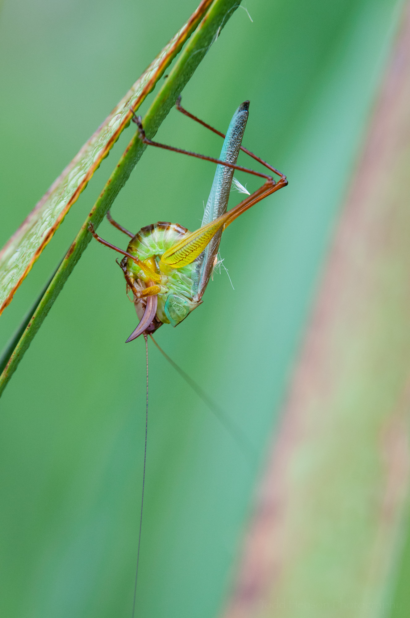Second of a sequence of a katydid cleaning itself.