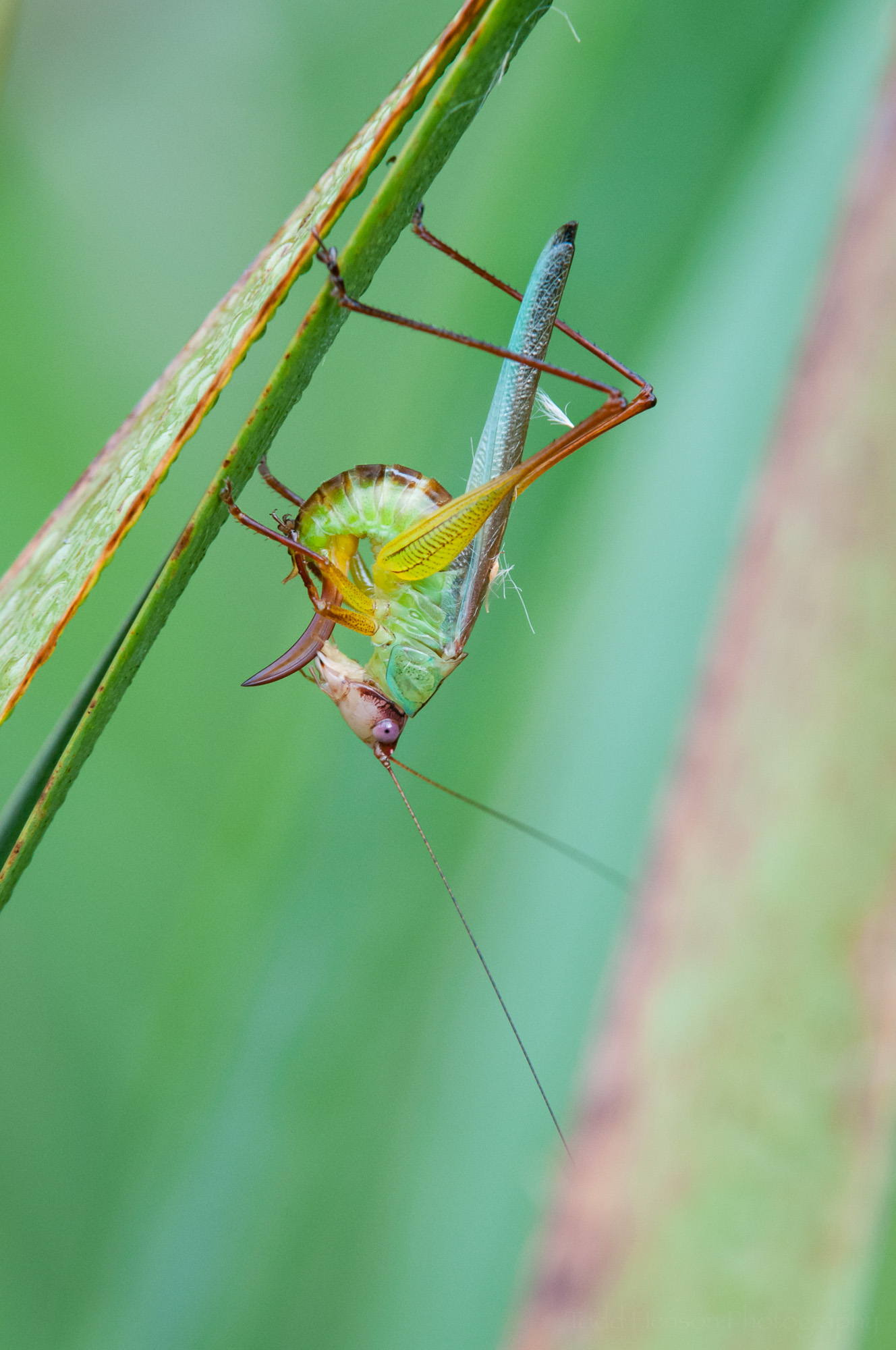 Third of a sequence of a katydid cleaning itself.