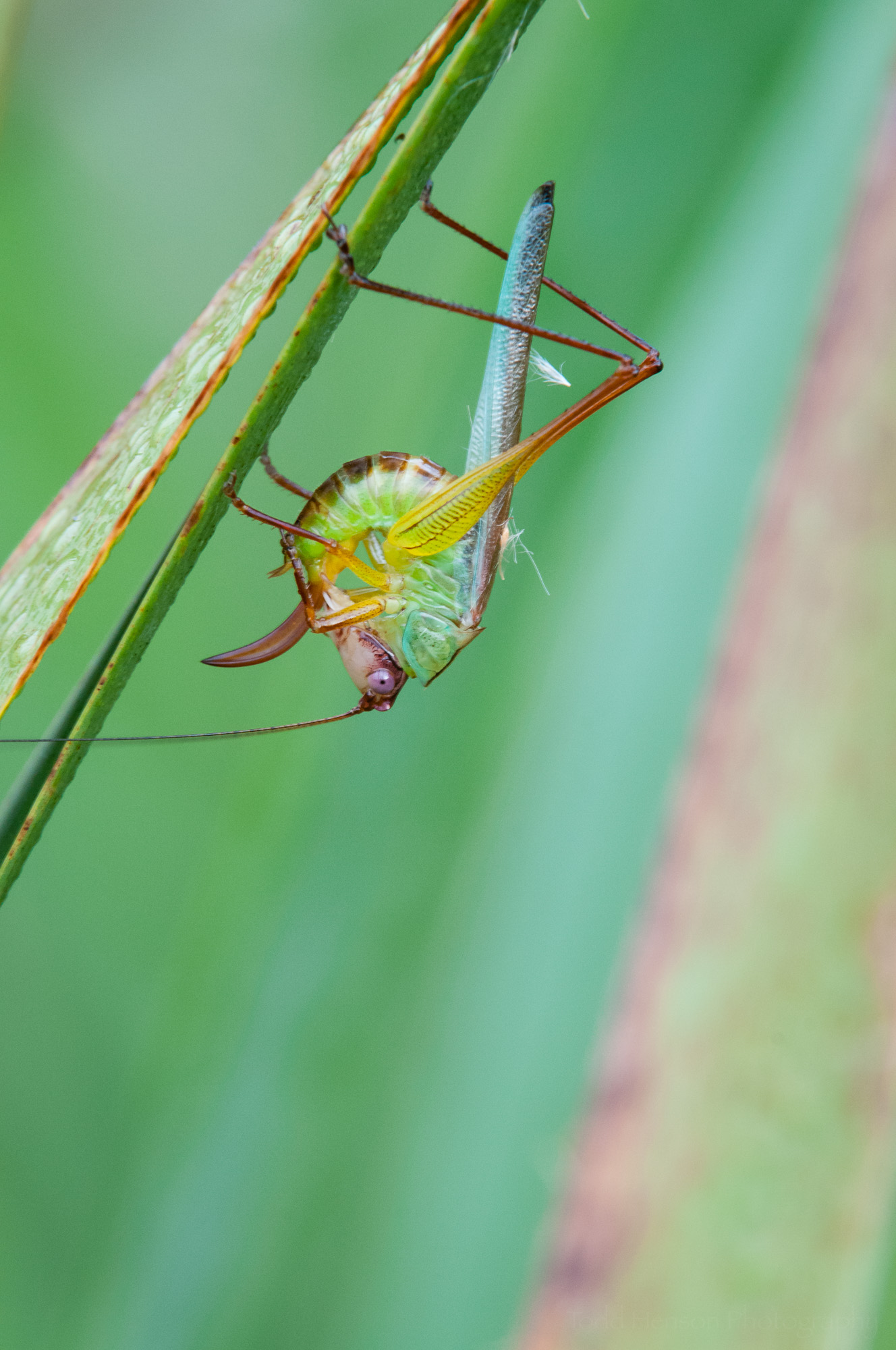 Fourth of a sequence of a katydid cleaning itself.