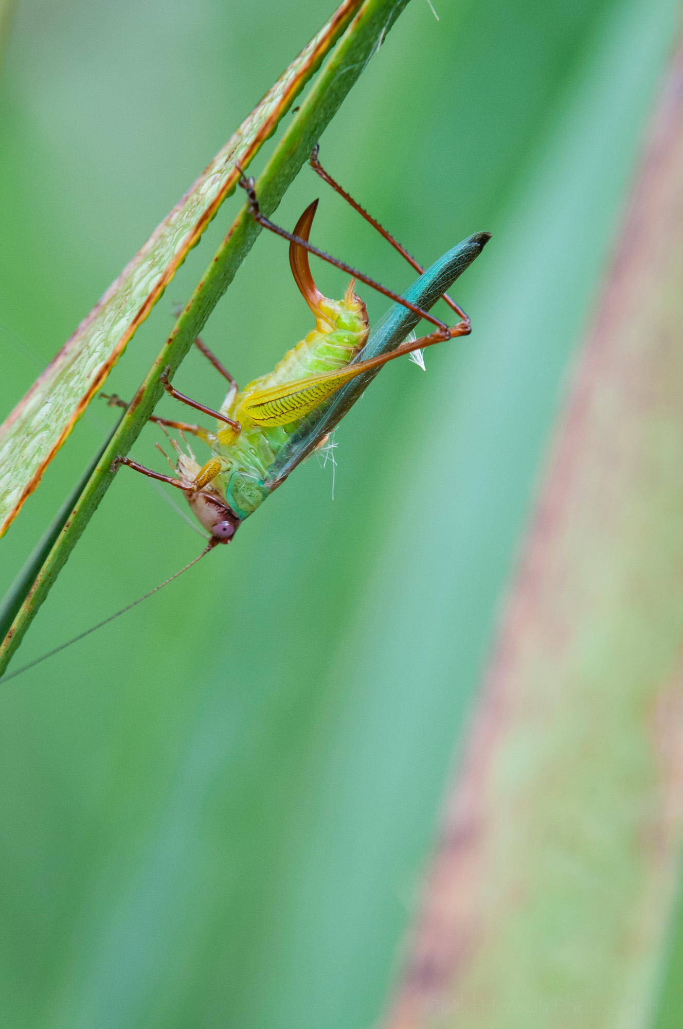 Seventh of a sequence of a katydid cleaning itself.